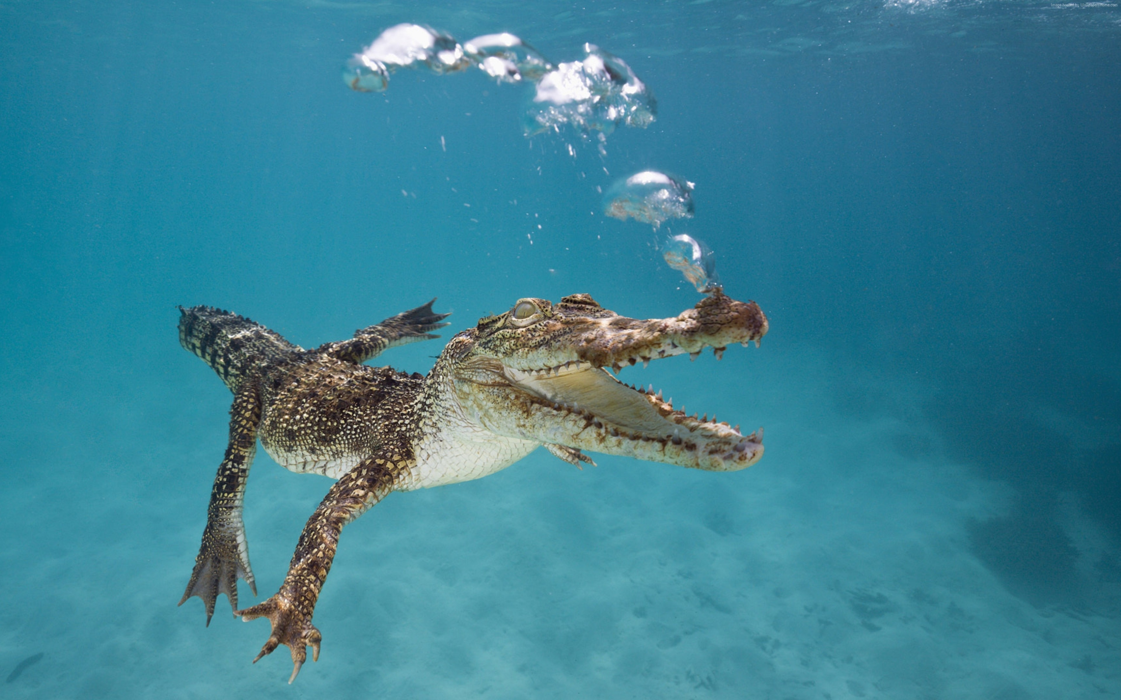 Wallpaper Crocodile, Calf, Swim, Underwater, Bubbles, Animals