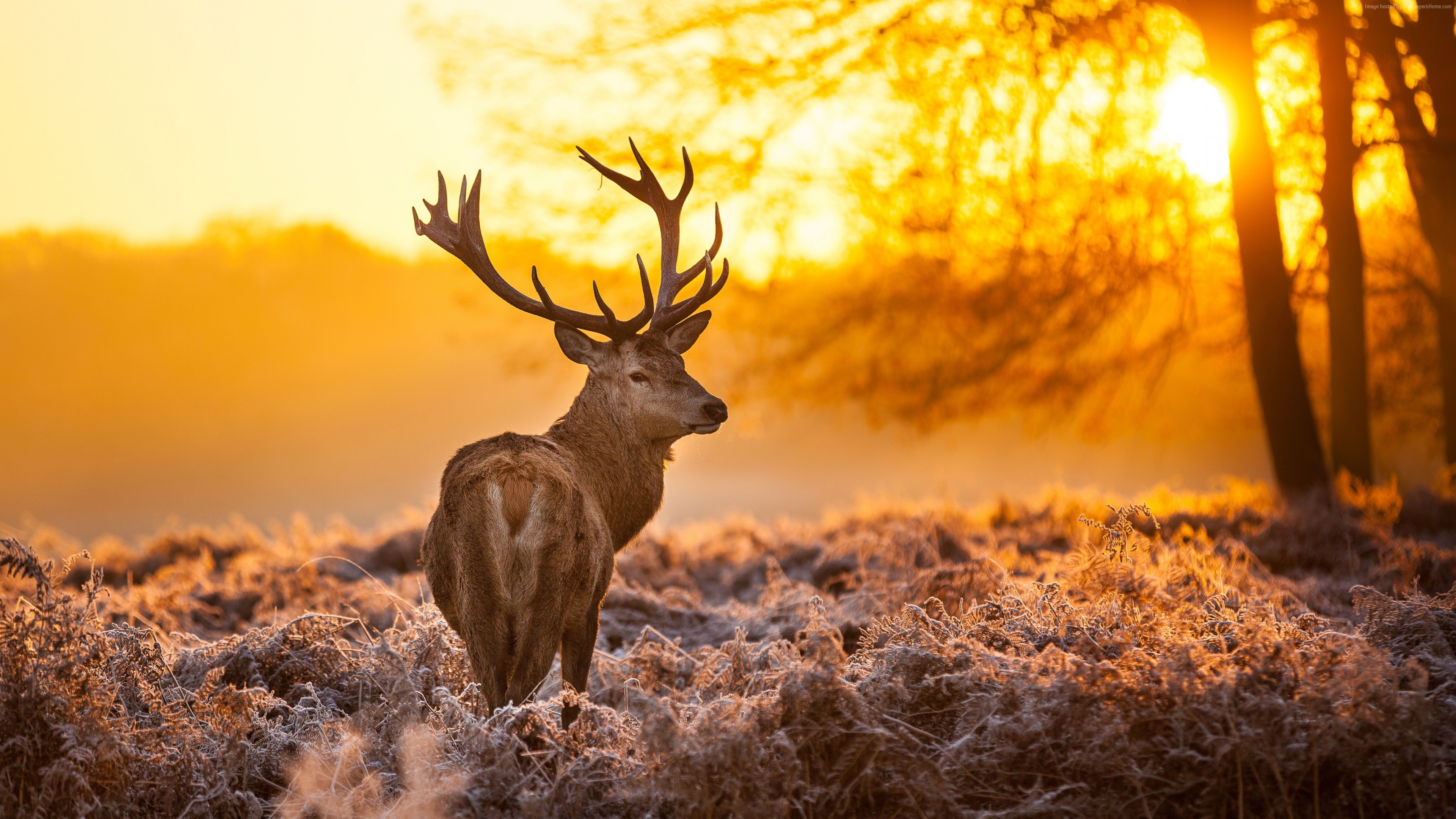Wallpaper Deer, 4k, HD wallpaper, wild, sun, yellow, nature, winter, Animals