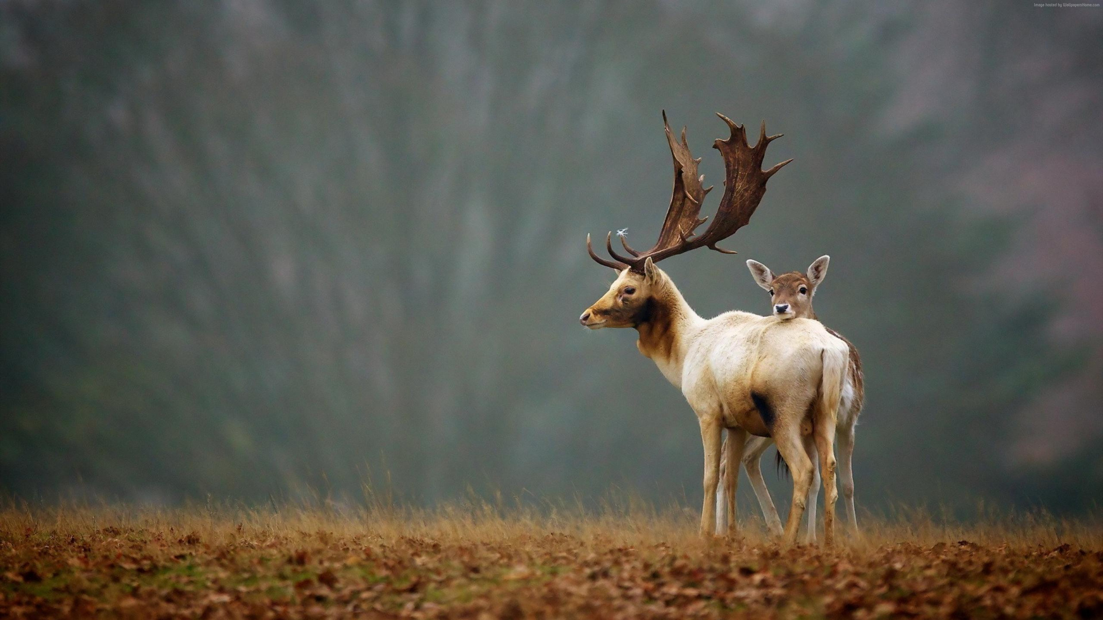 Wallpaper Deer, meadow, fog, cute animals, Animals