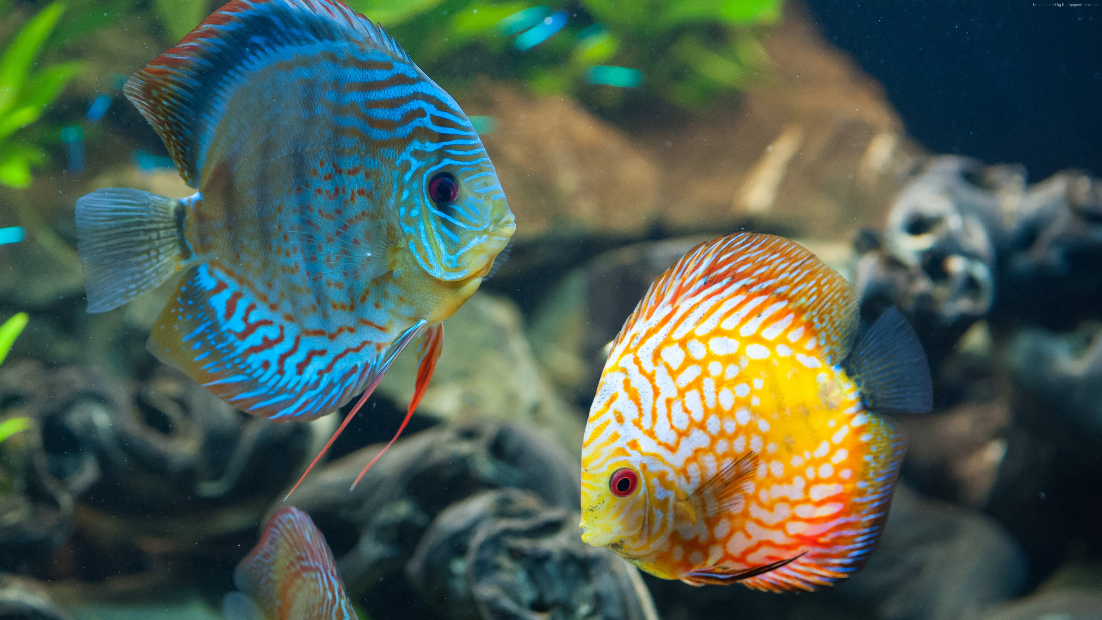 Wallpaper Discus, exotic, aquarium, fish, close up, water, blue, orange, World&
