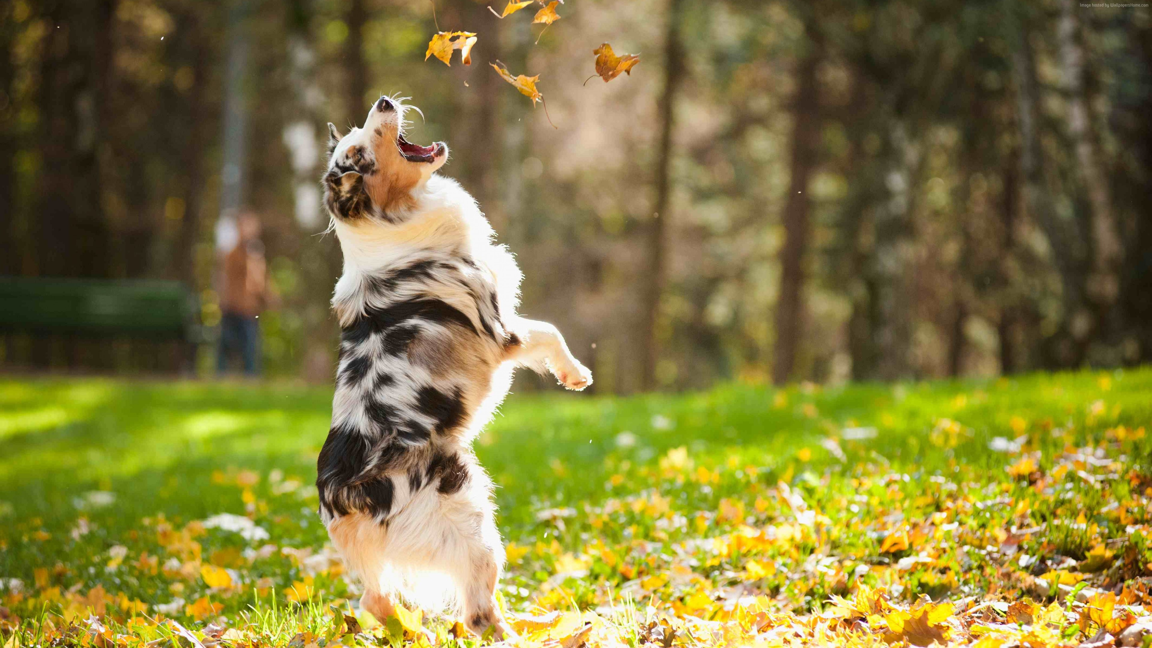Wallpaper Dog, puppy, jumping, leaves, autumn, pet, green grass, park, Animals