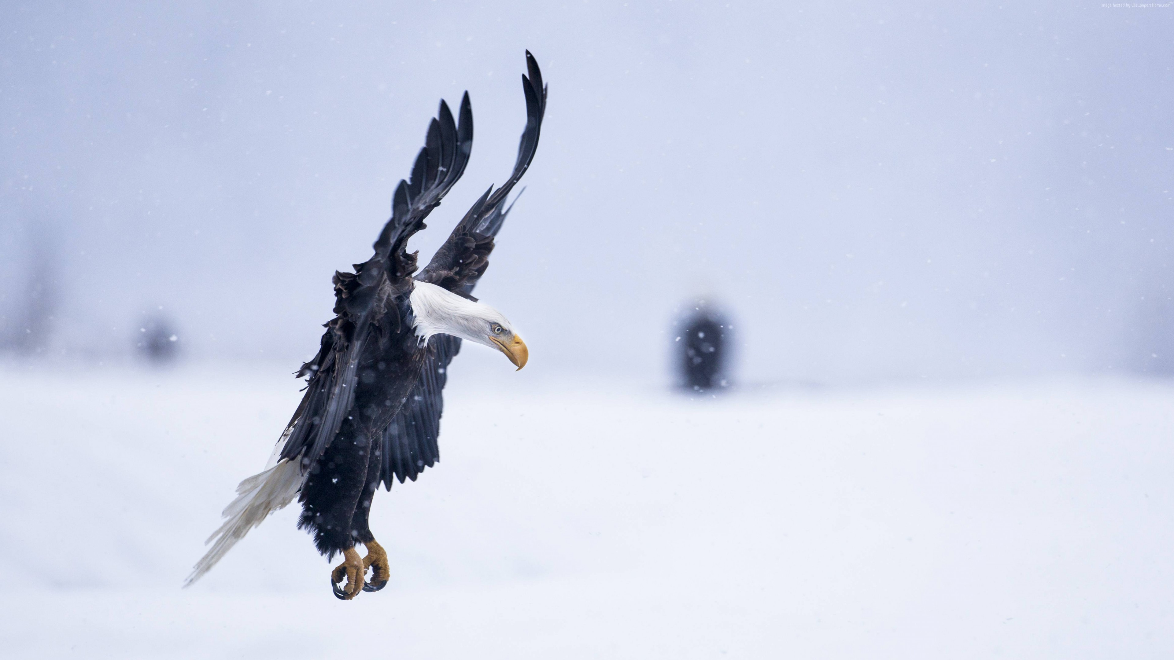 Wallpaper Eagle, Alaska, 5k, 4k wallpaper, HD, flight, winter, snow, National Geographics, Animals
