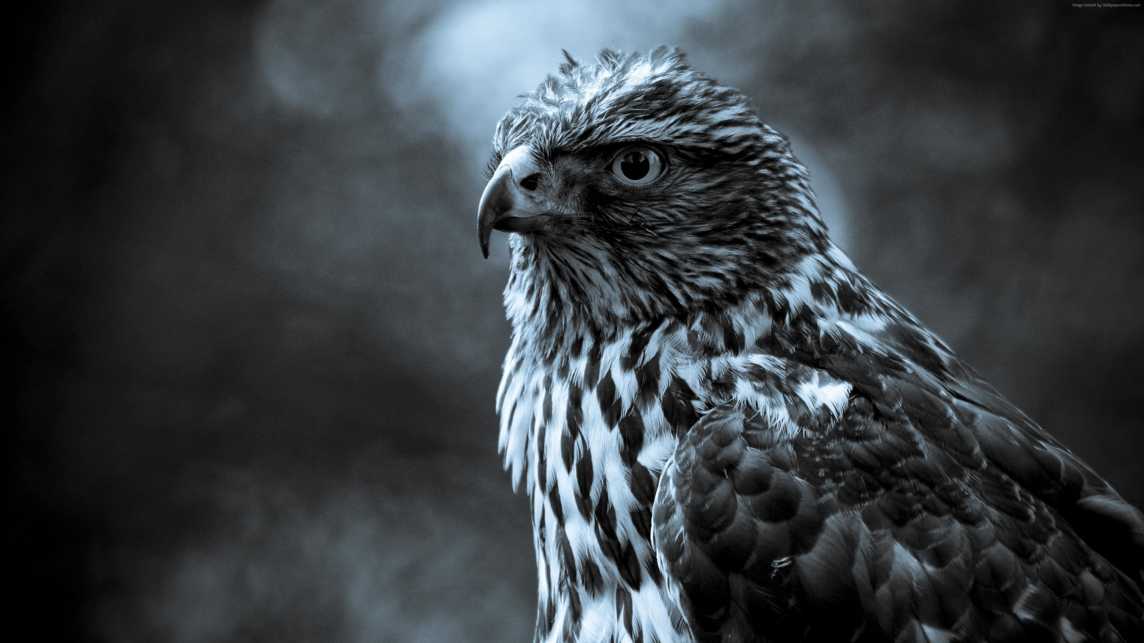 Wallpaper Eagle, look, cute animals, blur, Animals