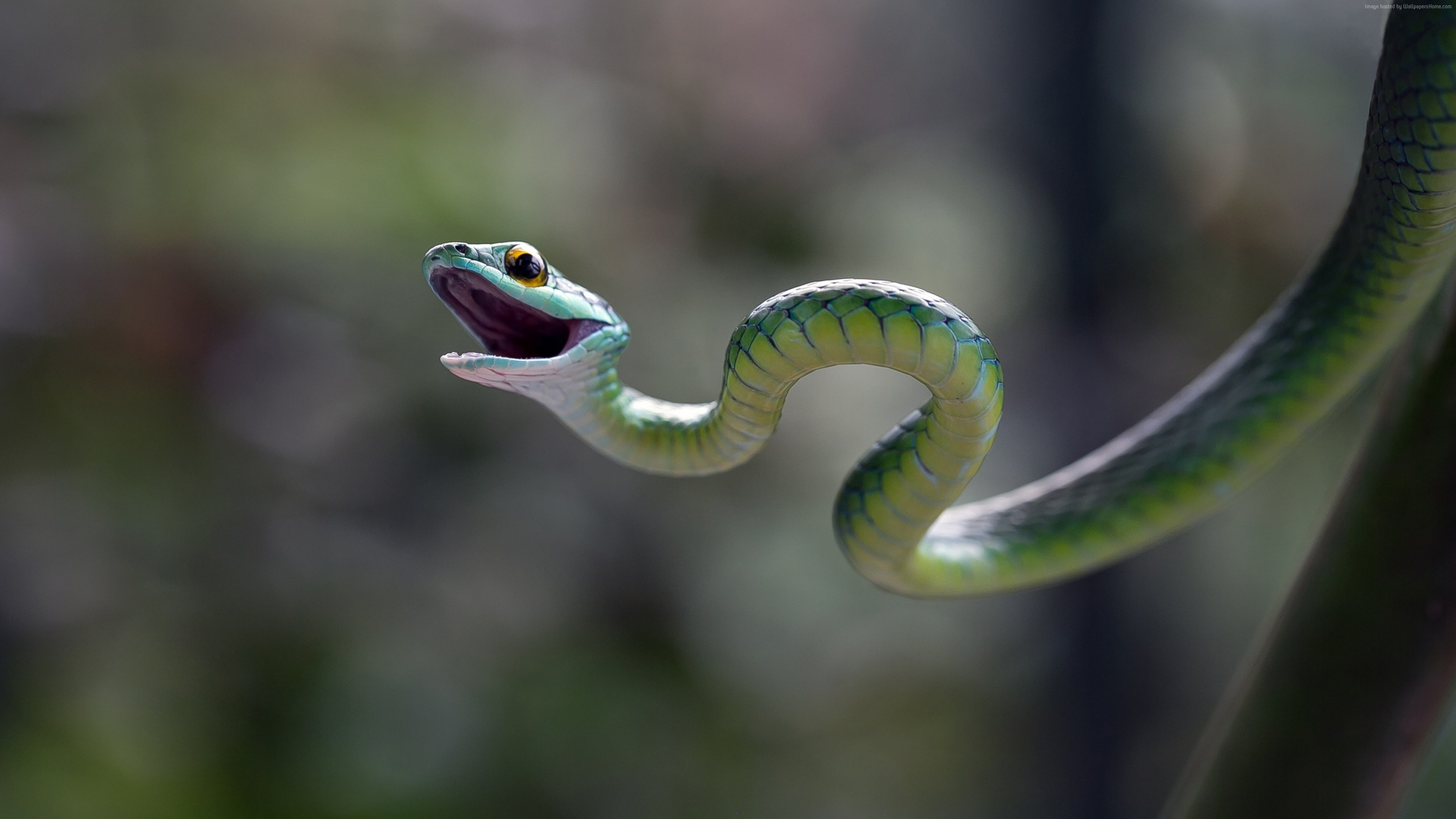 Wallpaper Eastern green mamba, snake, macro, blur, Animals