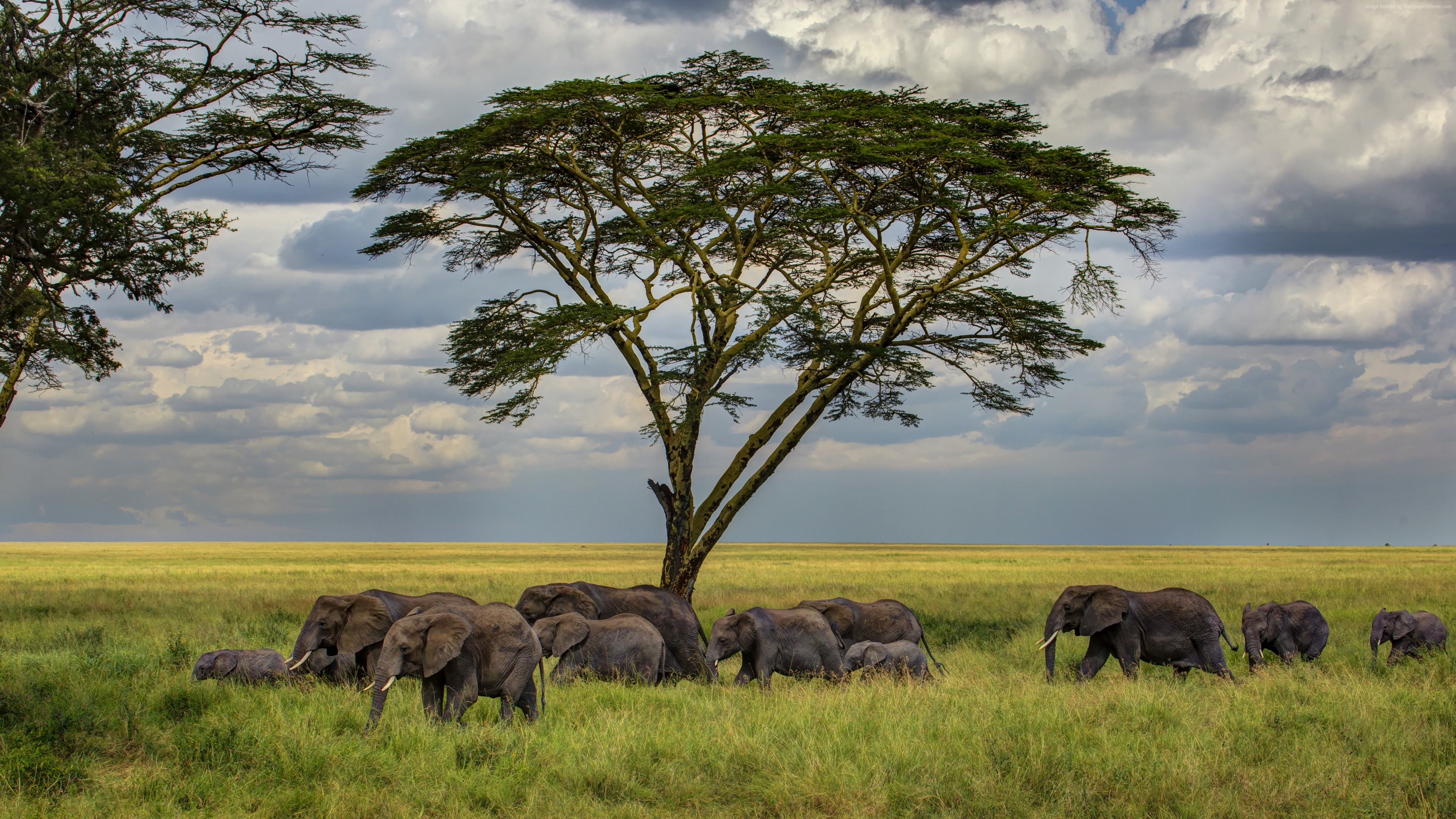 Wallpaper Elephant, 5k, 4k wallpaper, savanna, tree, clouds, Animals