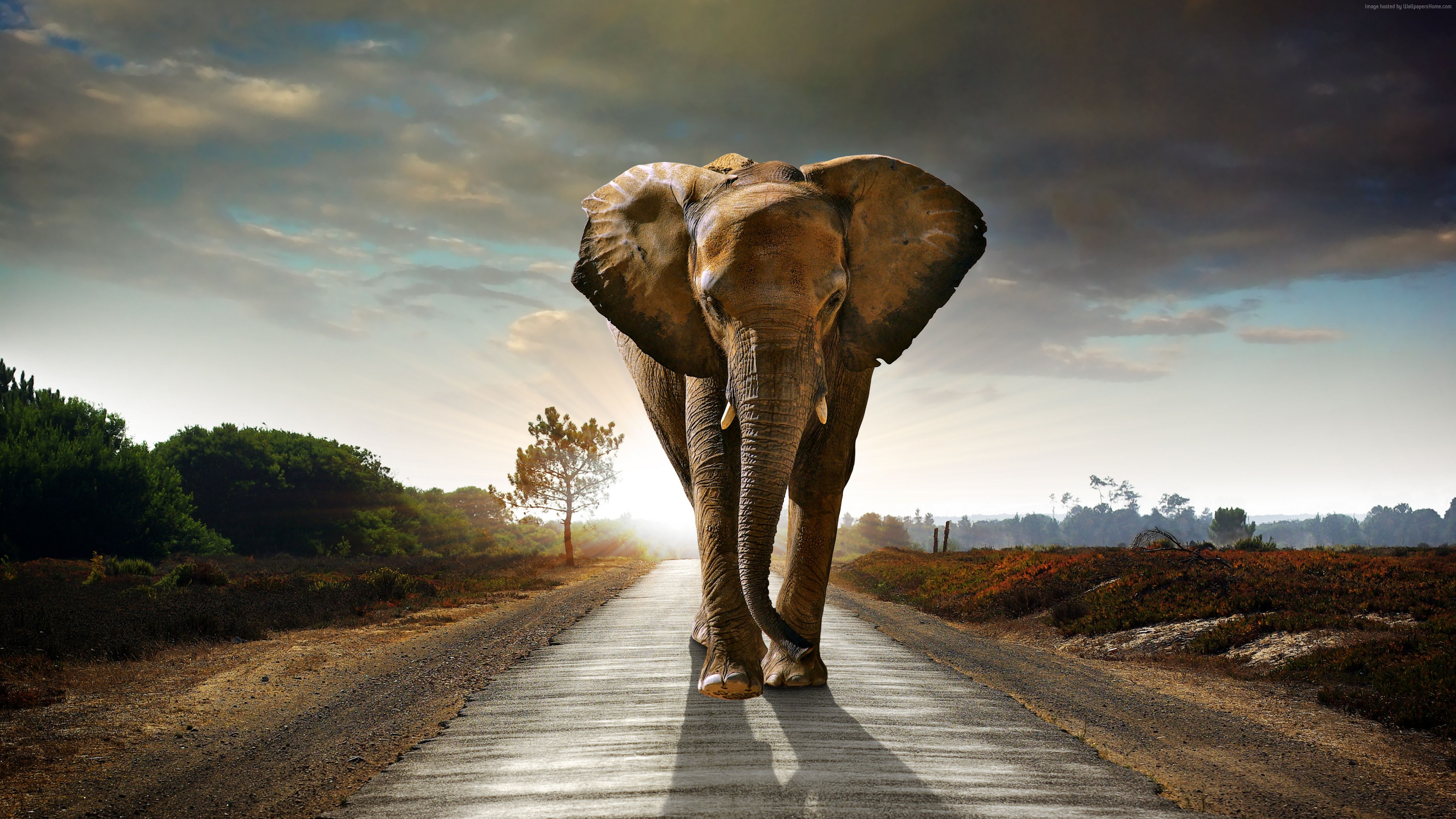 Wallpaper Elephant, sunset, road, nature, Animals