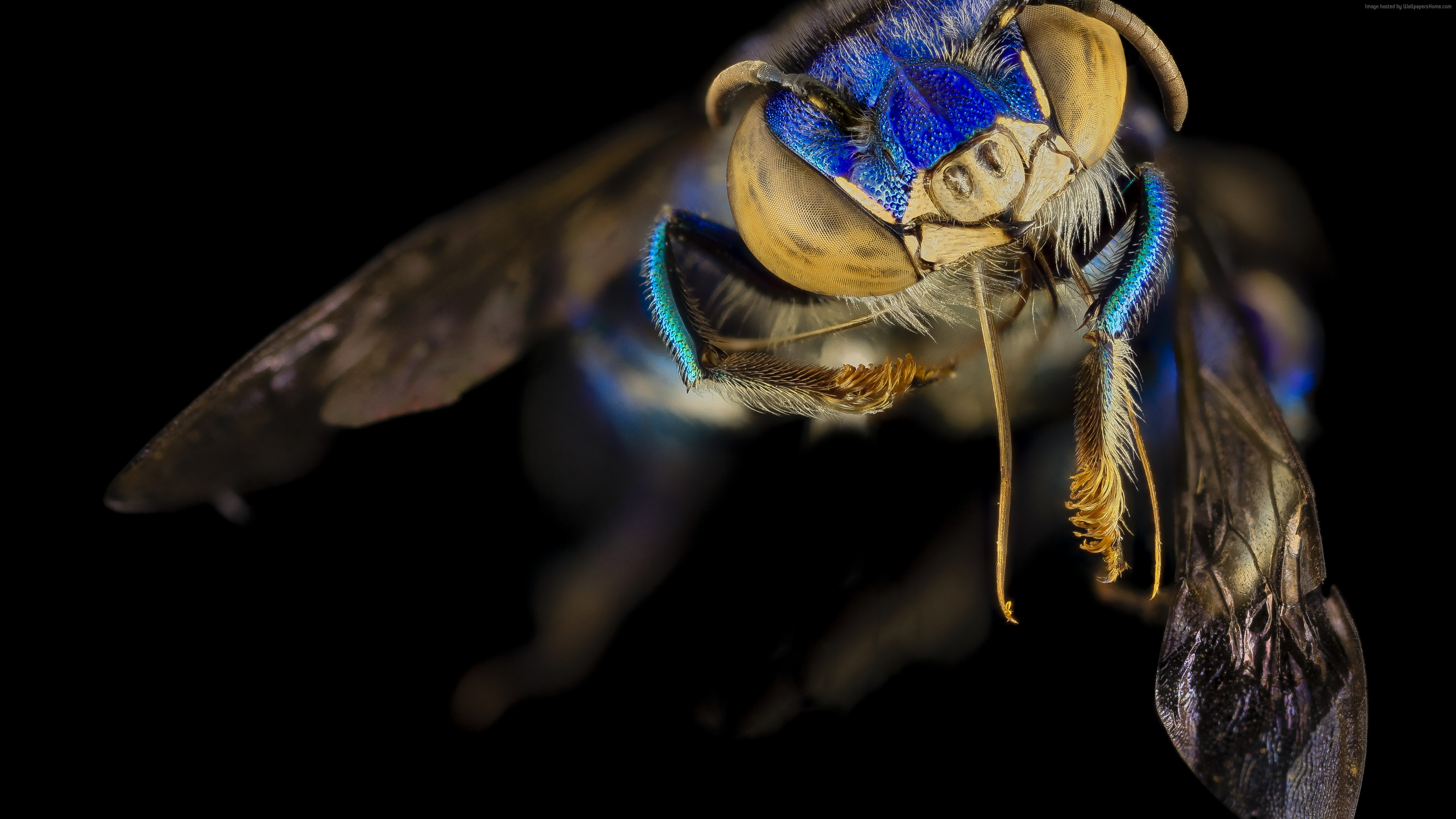 Wallpaper Euglossa Orchid Bee, Mexico, Argentina, macro, blue, green, insects, black background, Animals