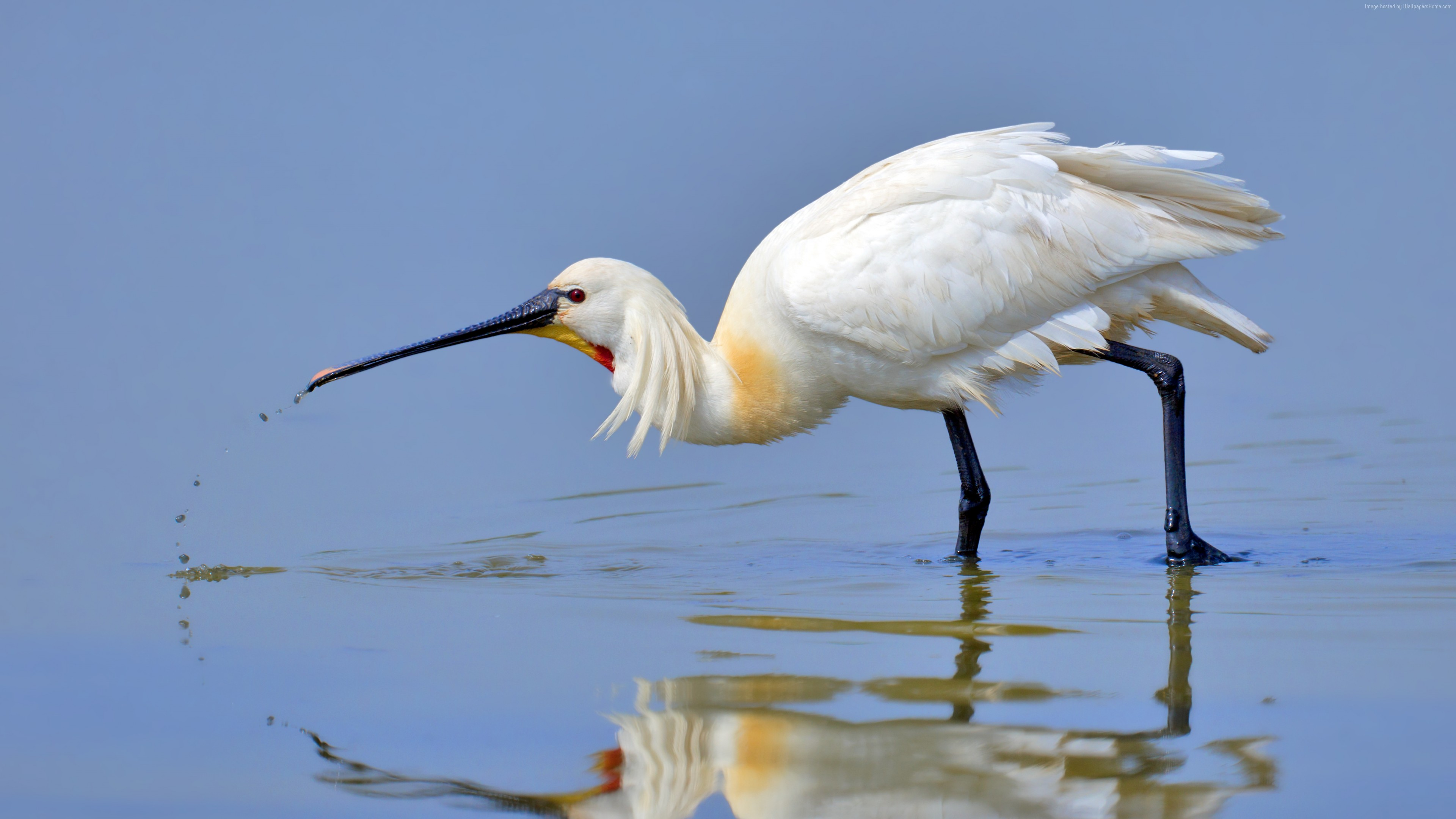 Wallpaper Eurasian spoonbill, 5k, 4k wallpaper, Japan, North Africa, bird, white, animal, nature, water, lake, reflection, Animals