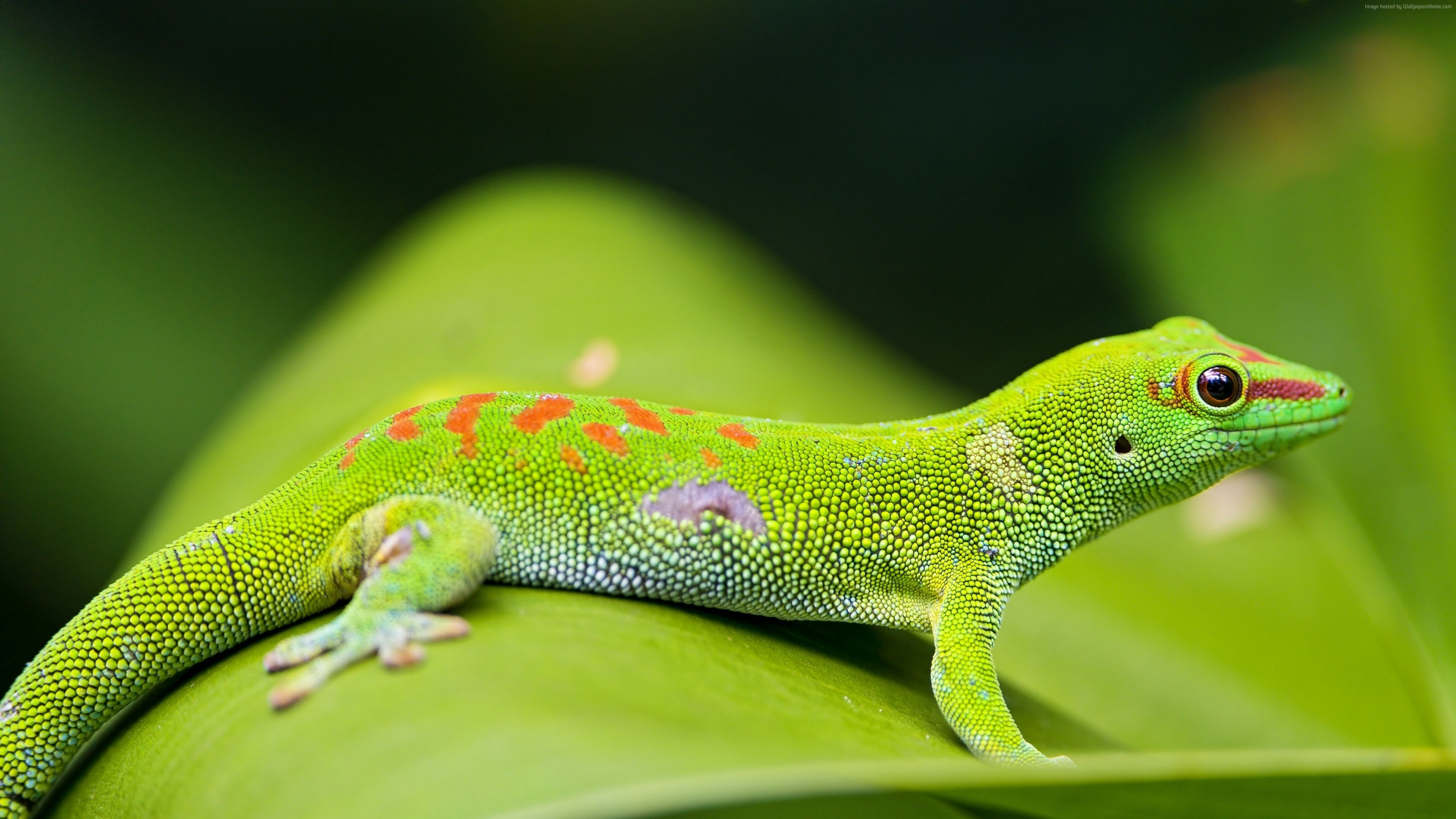 Wallpaper Gecko, reptile, green, 4k, Animals