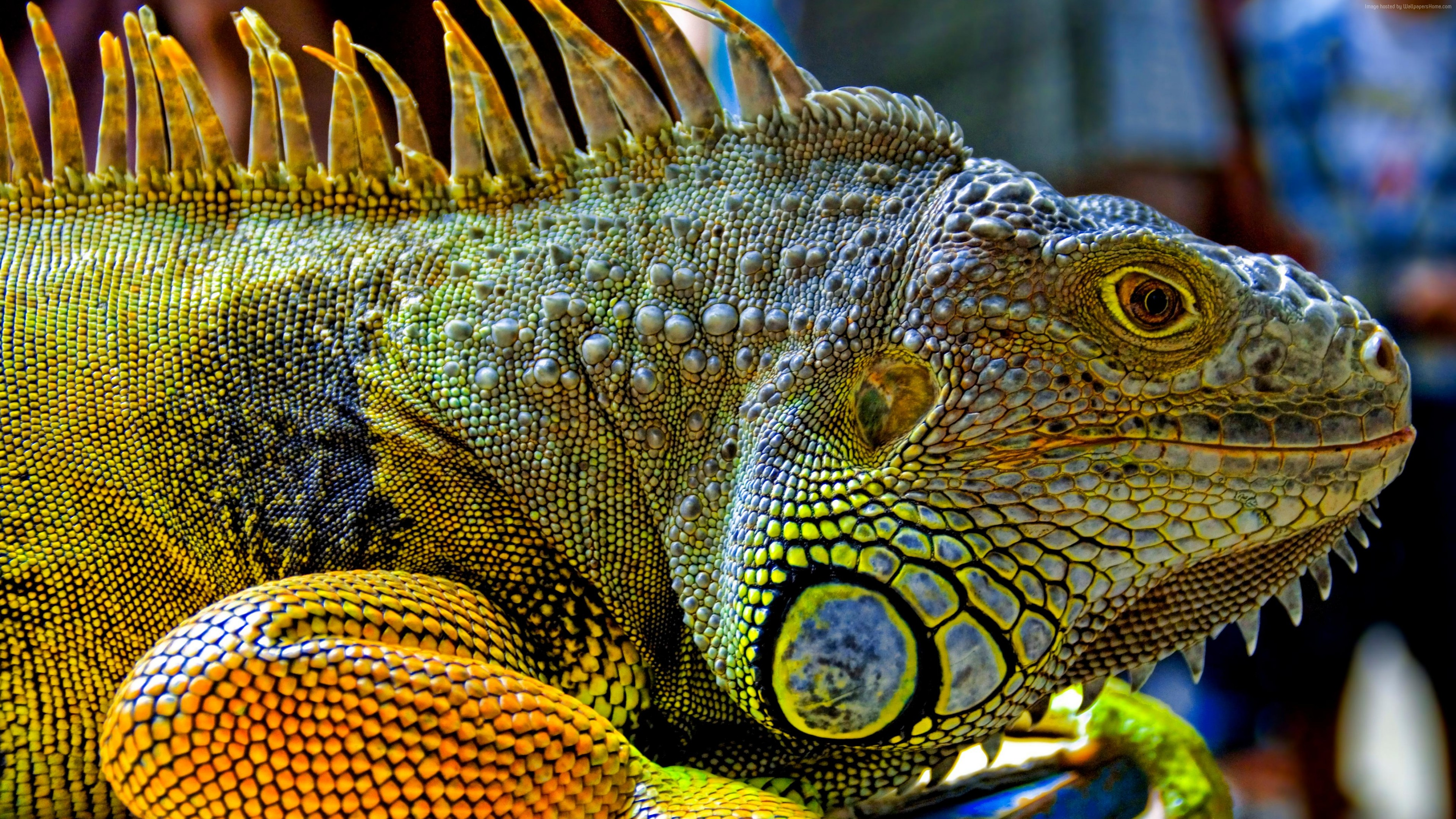 Wallpaper Green Iguana, reptiles, nature, lizard, Animals ...