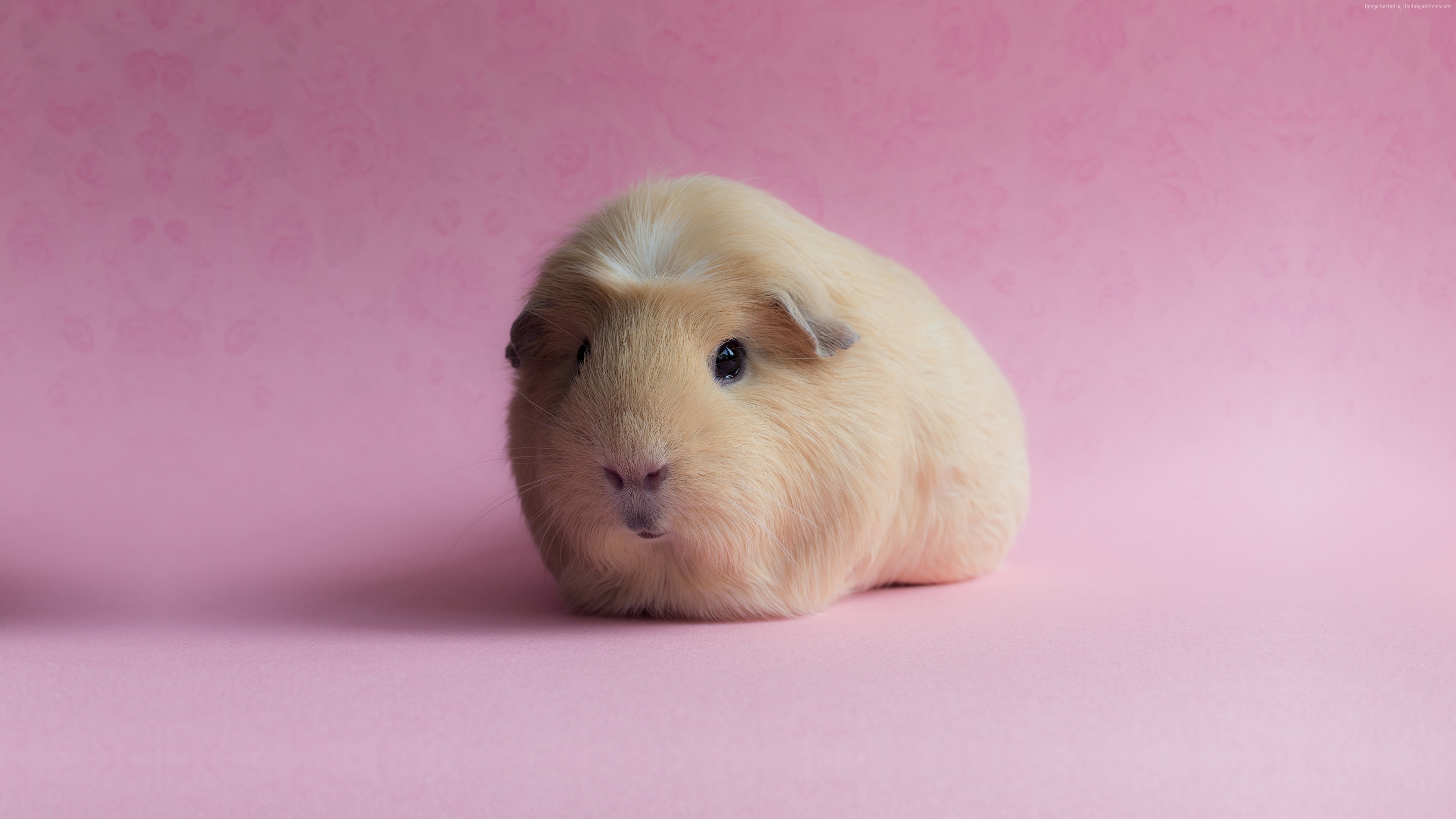 Wallpaper Guinea Pig, pink, funny animals, Animals