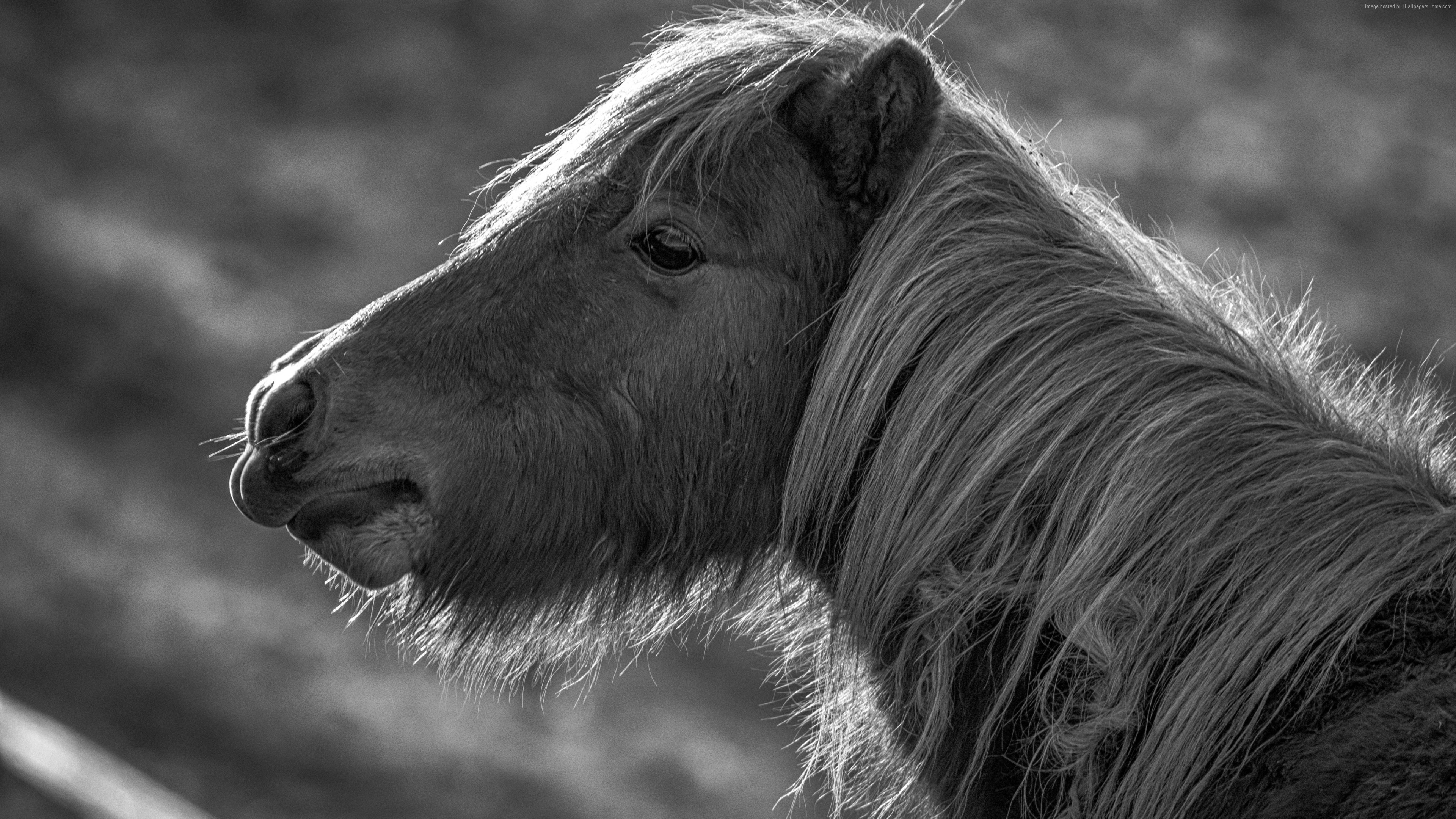 Wallpaper Horse, Pony, black and white, Animals