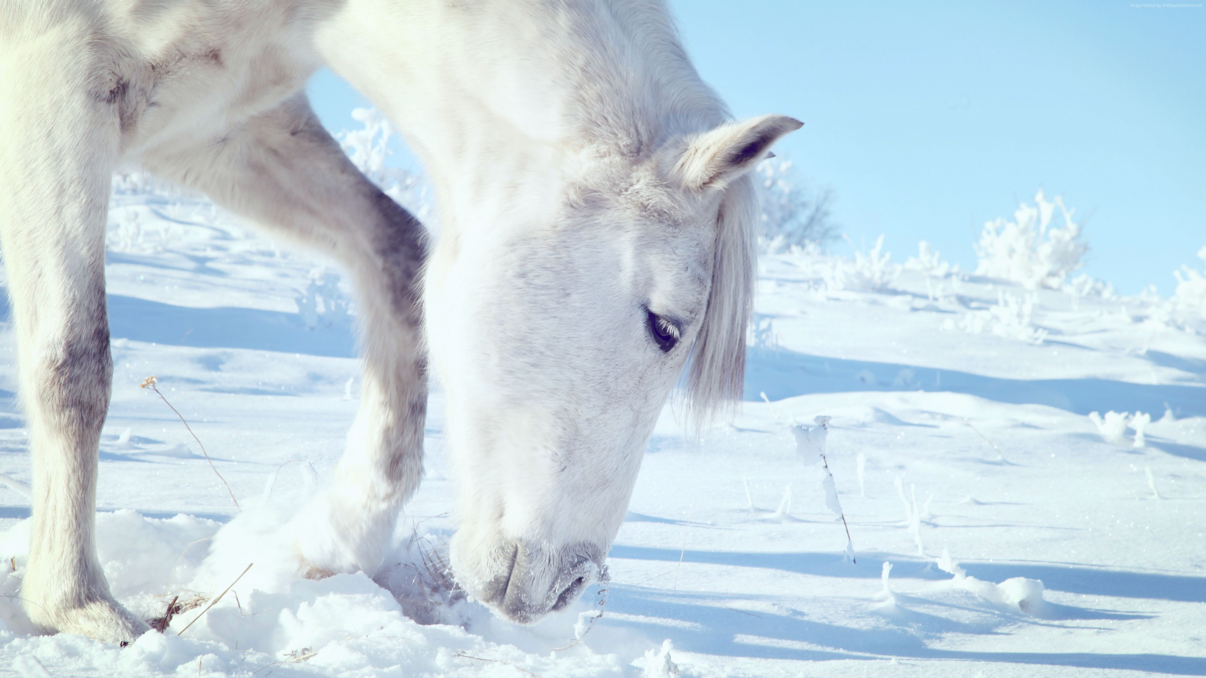 Wallpaper Horse, hooves, mane, white, snow, winter, close, Animals