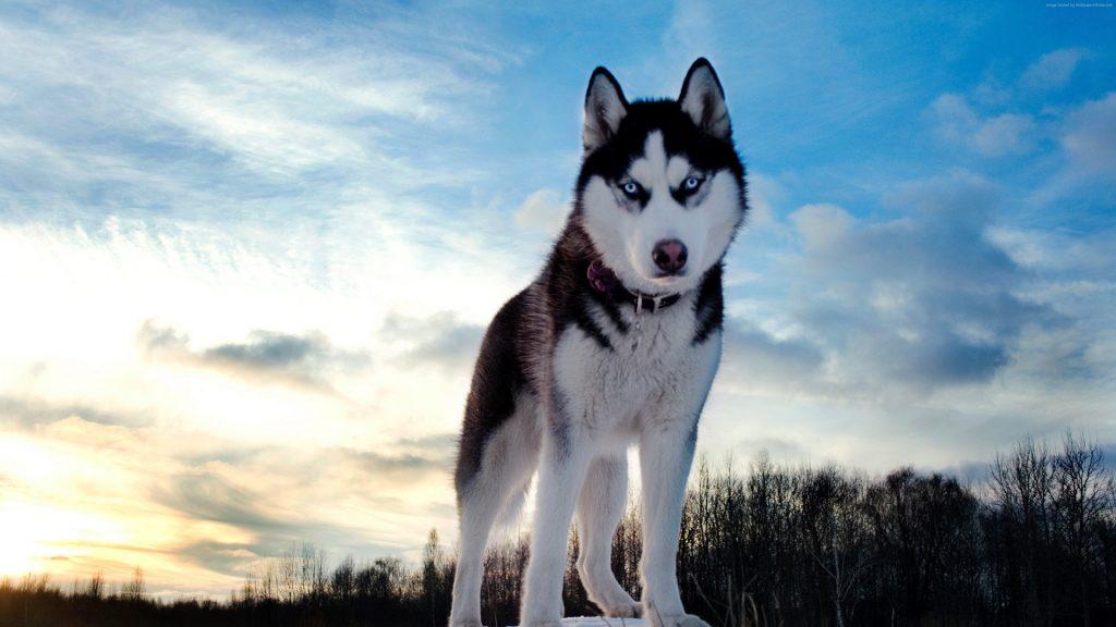 Wallpaper Husky Dog Cute Animals 4k Download