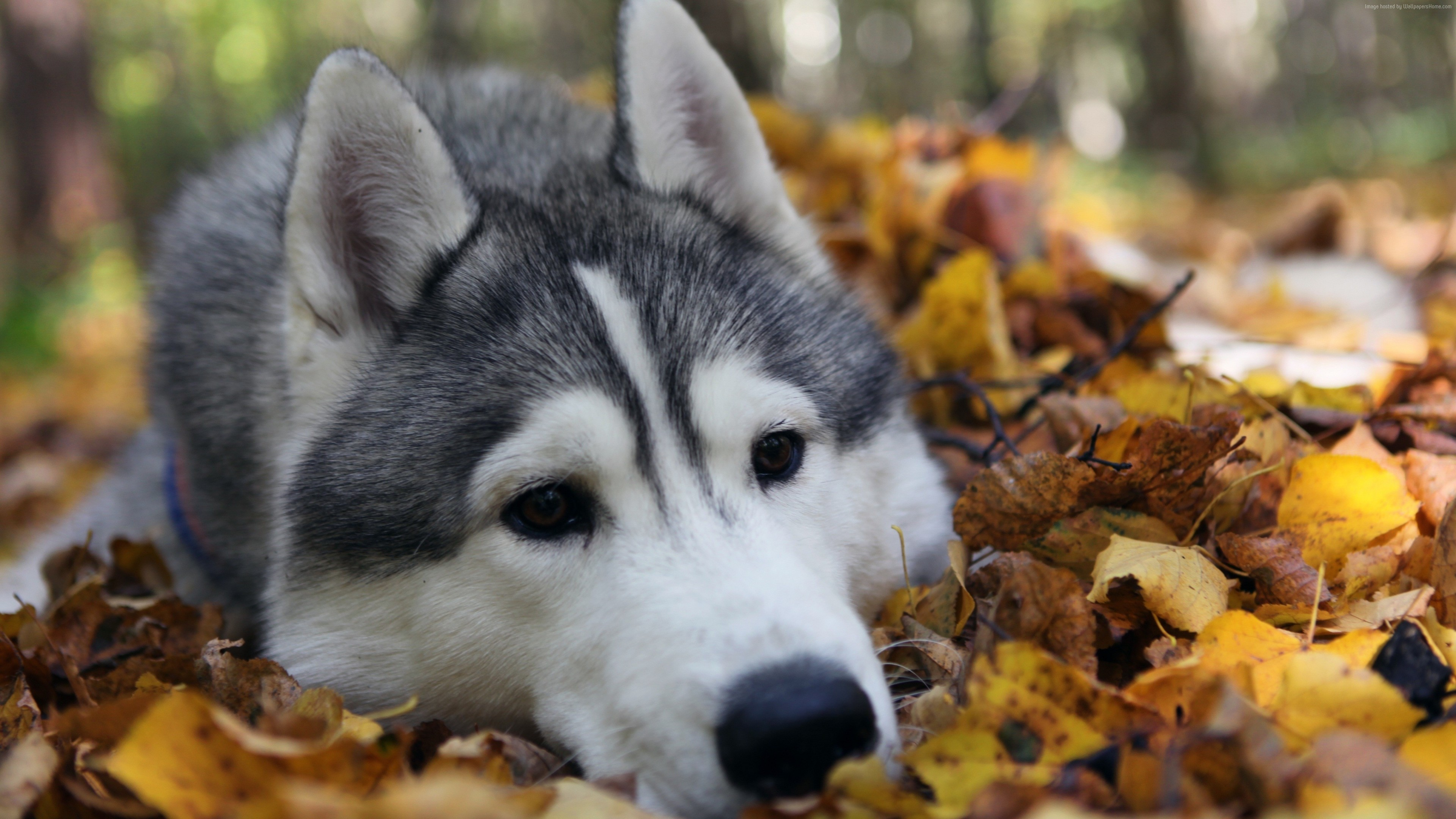 Wallpaper Husky, dog, cute animals, funny, Animals