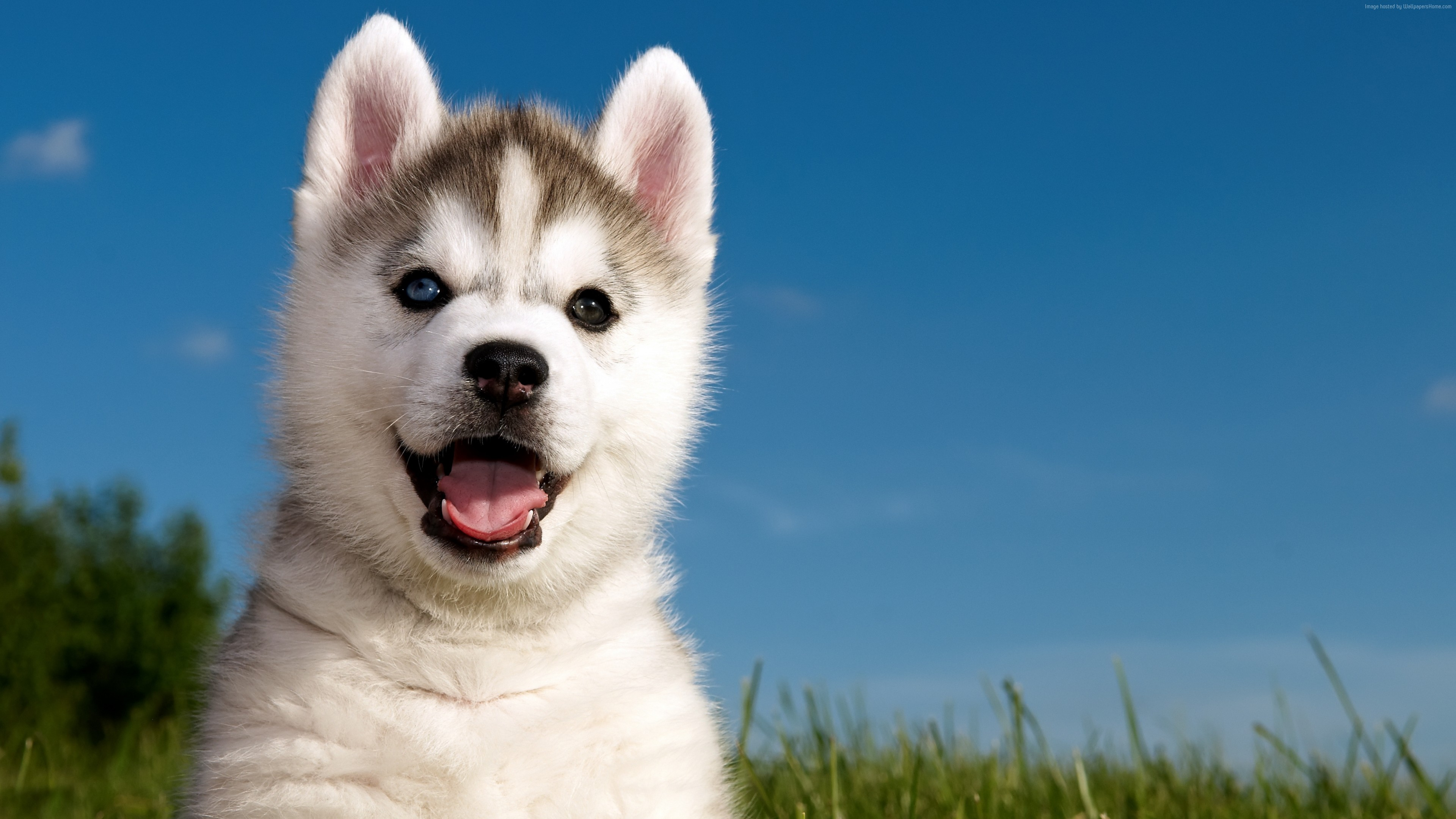 Wallpaper Husky, puppy, funny animals, cute animals, 4k, Animals