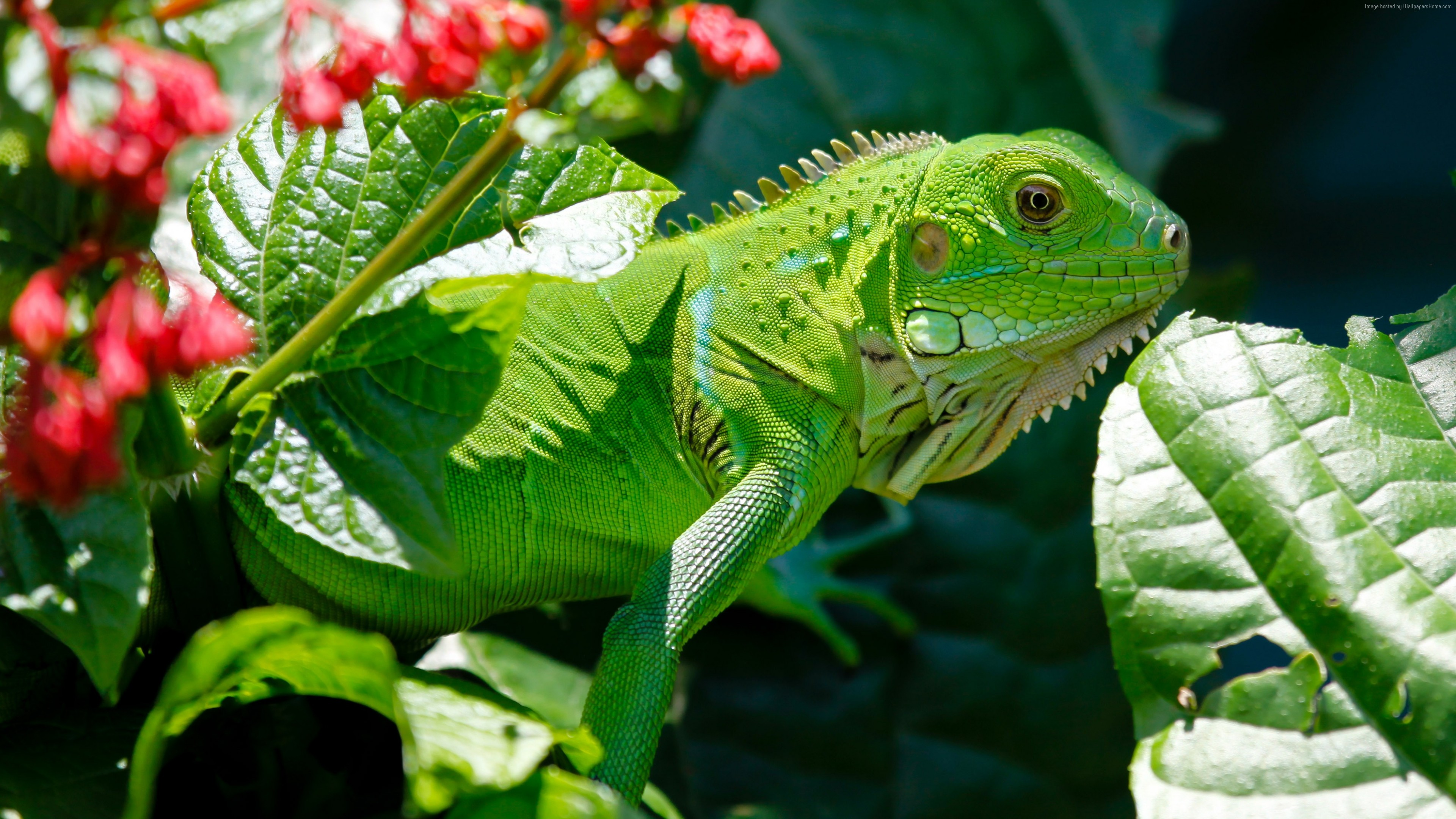 Wallpaper Iguana, reptiles, green, aimal, flowers, eyes, leaves, dragon, nature, Animals