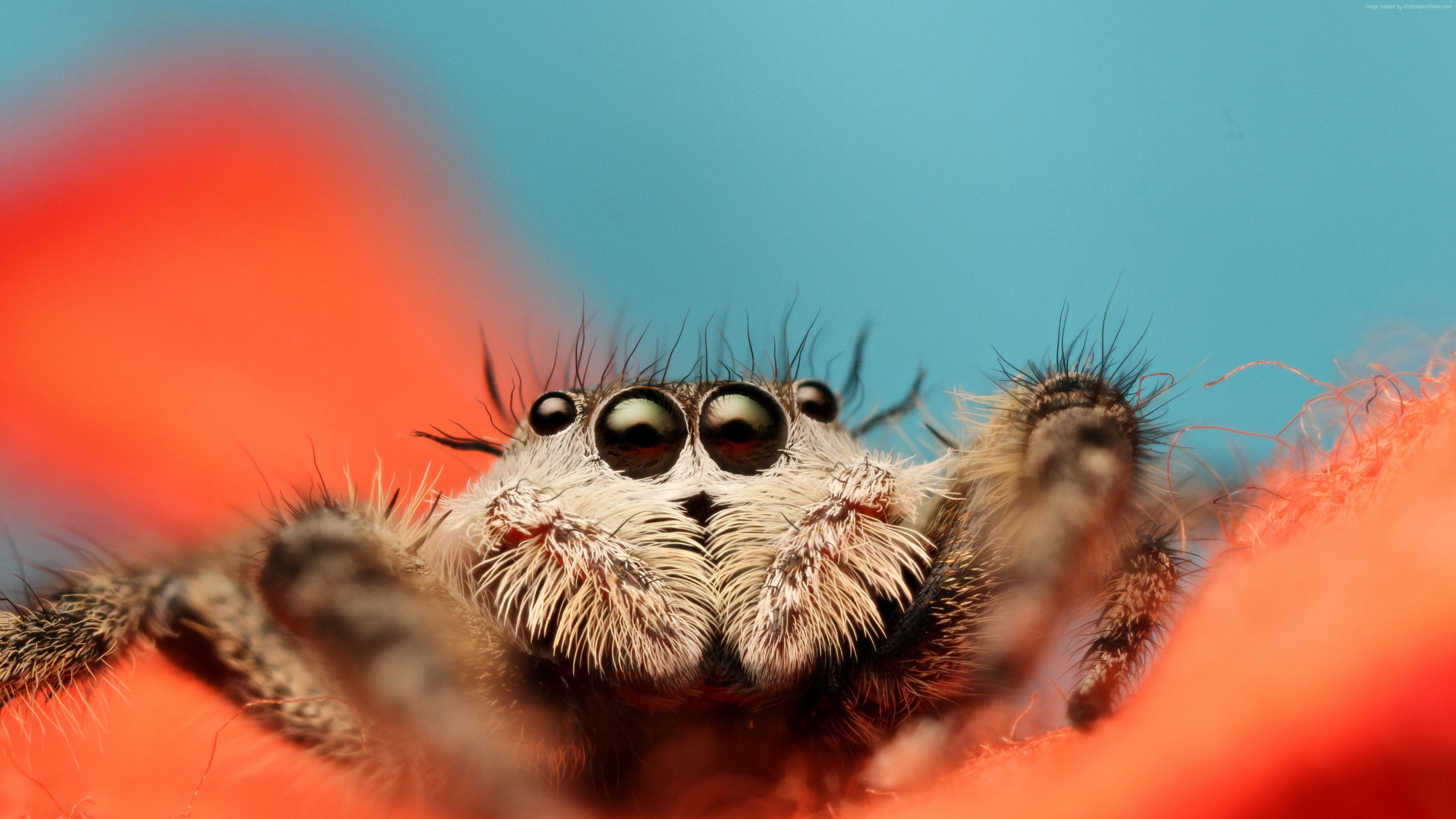 Wallpaper Jumping Spider, 5k, 4k wallpaper, 8k, macro, black, eyes, blue, orange, insects, cute, arachnid, Animals
