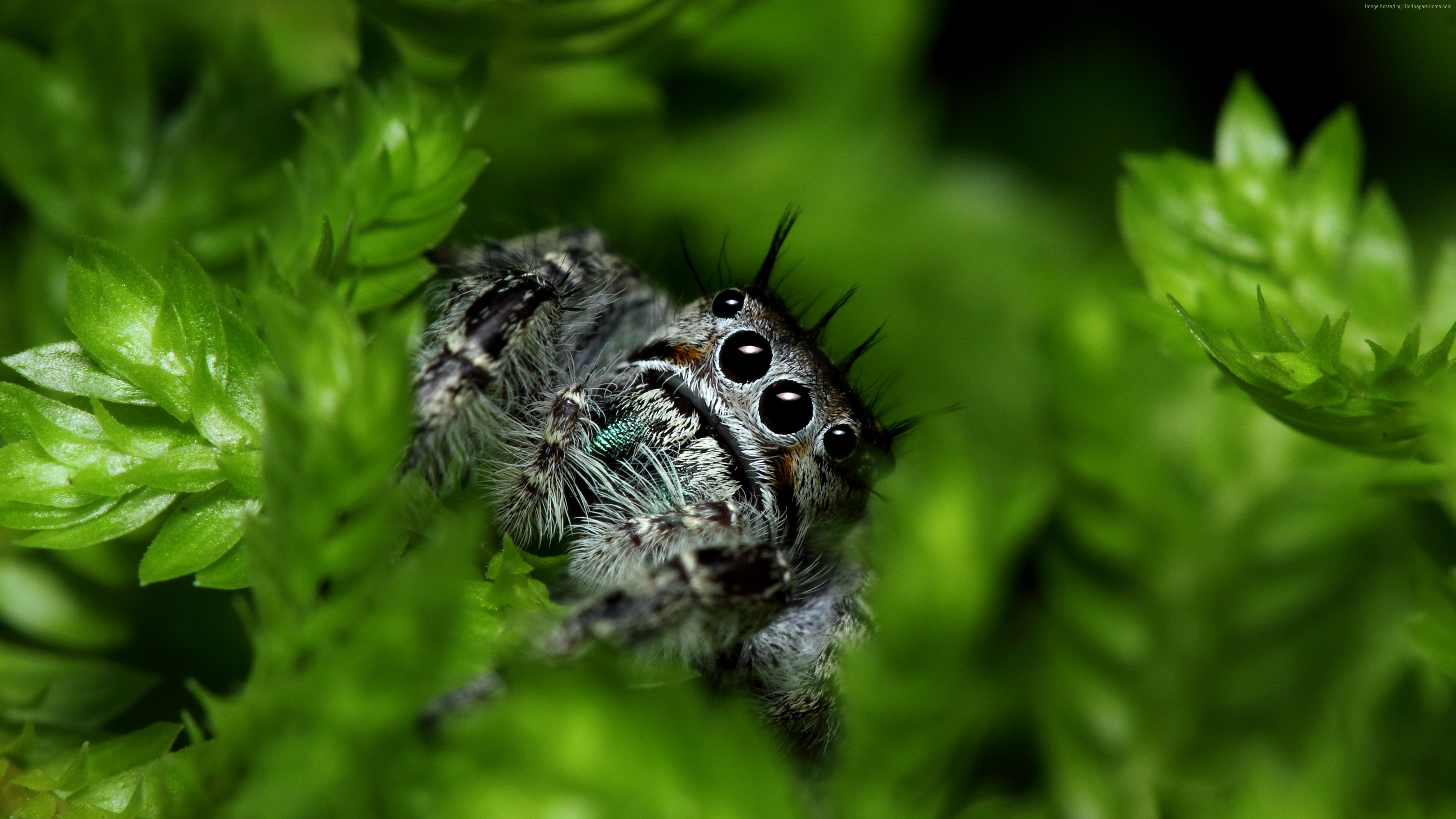 Wallpaper Jumping Spider, eyes, insects, leaves, green, nature, cute, Animals