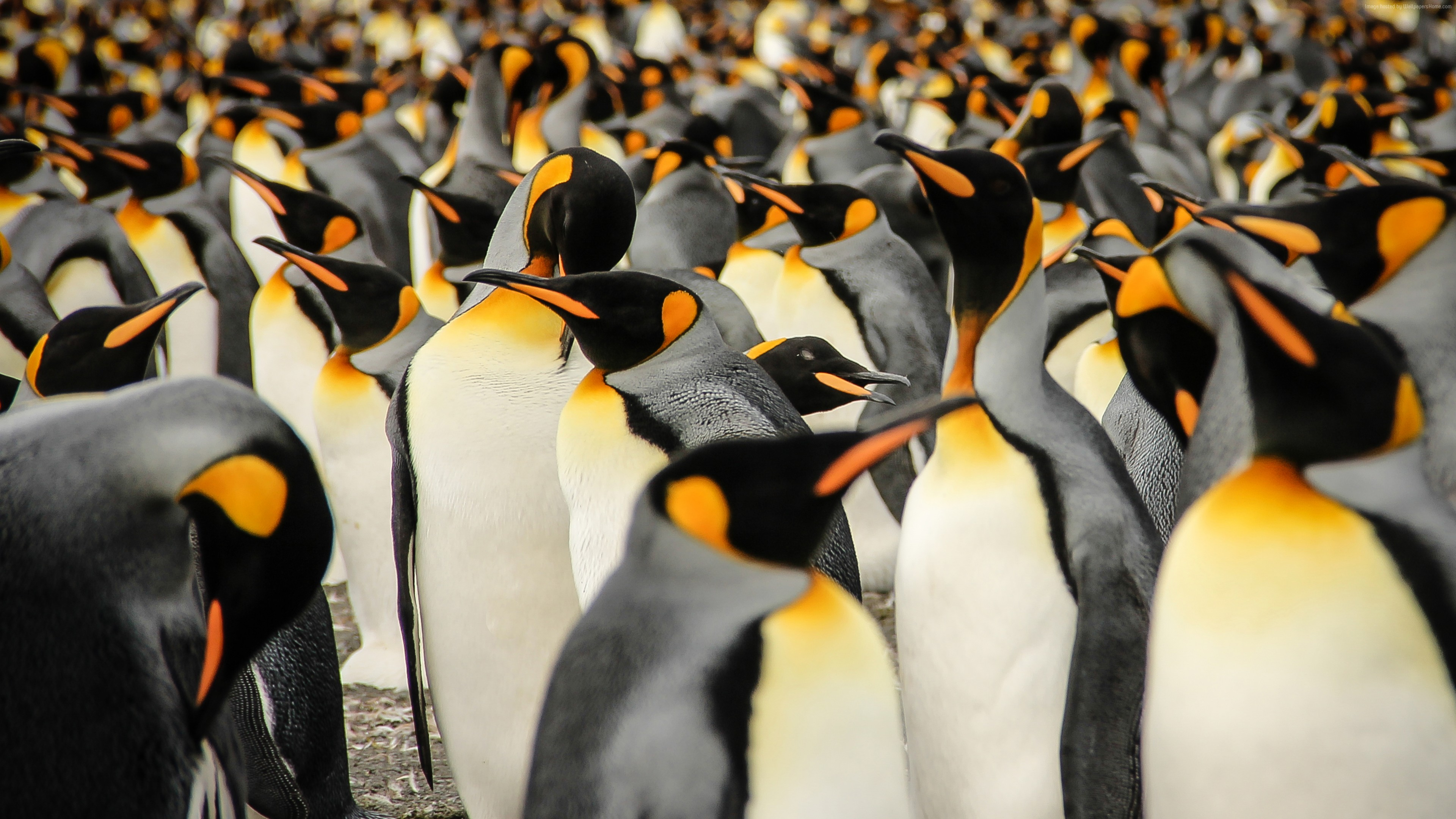 Wallpaper King penguins, South Georgia, birds, 2015 Sony World Photography Awards, Animals
