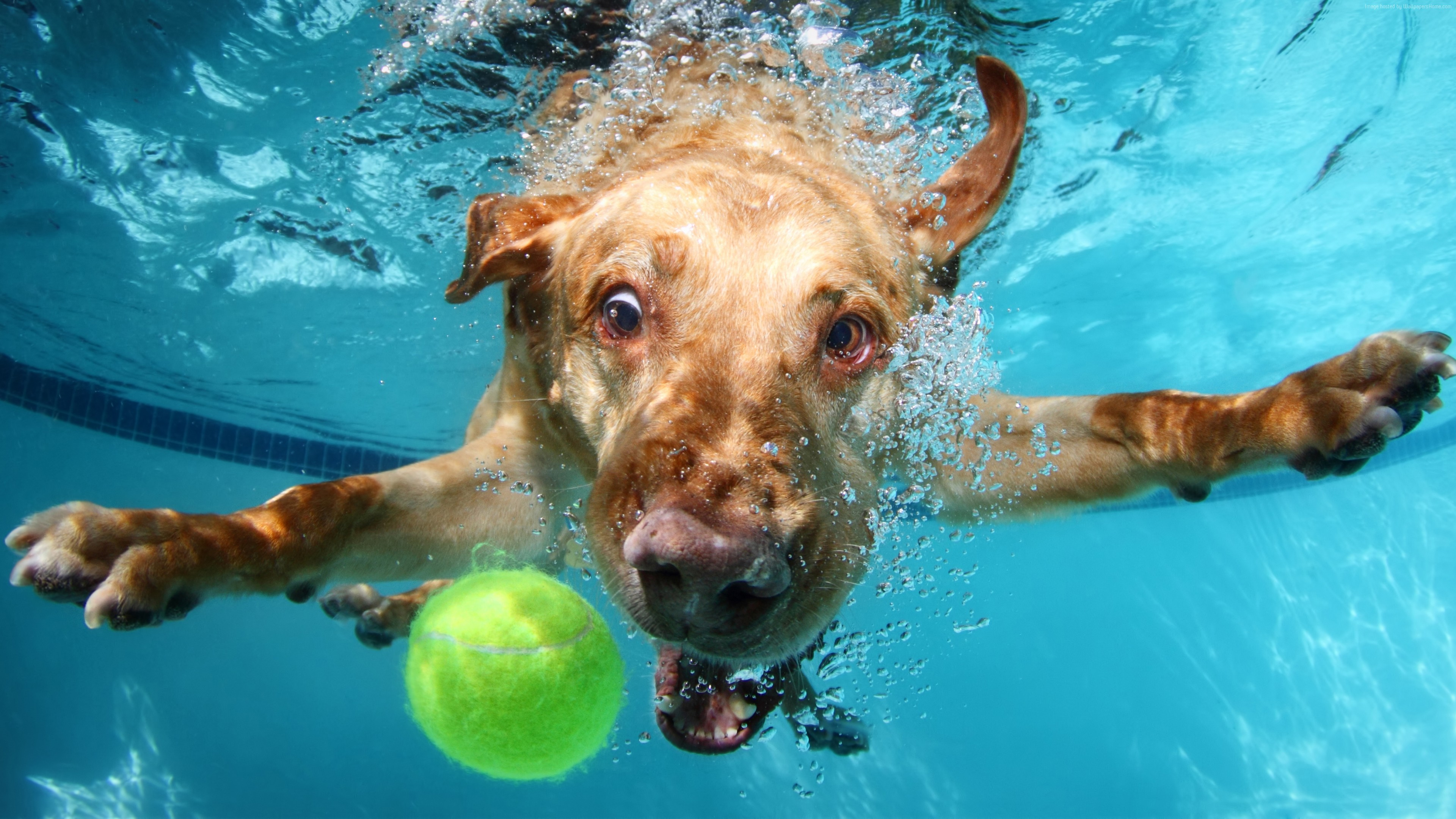 Wallpaper Labrador, dog, underwater, cute animals, funny, Animals