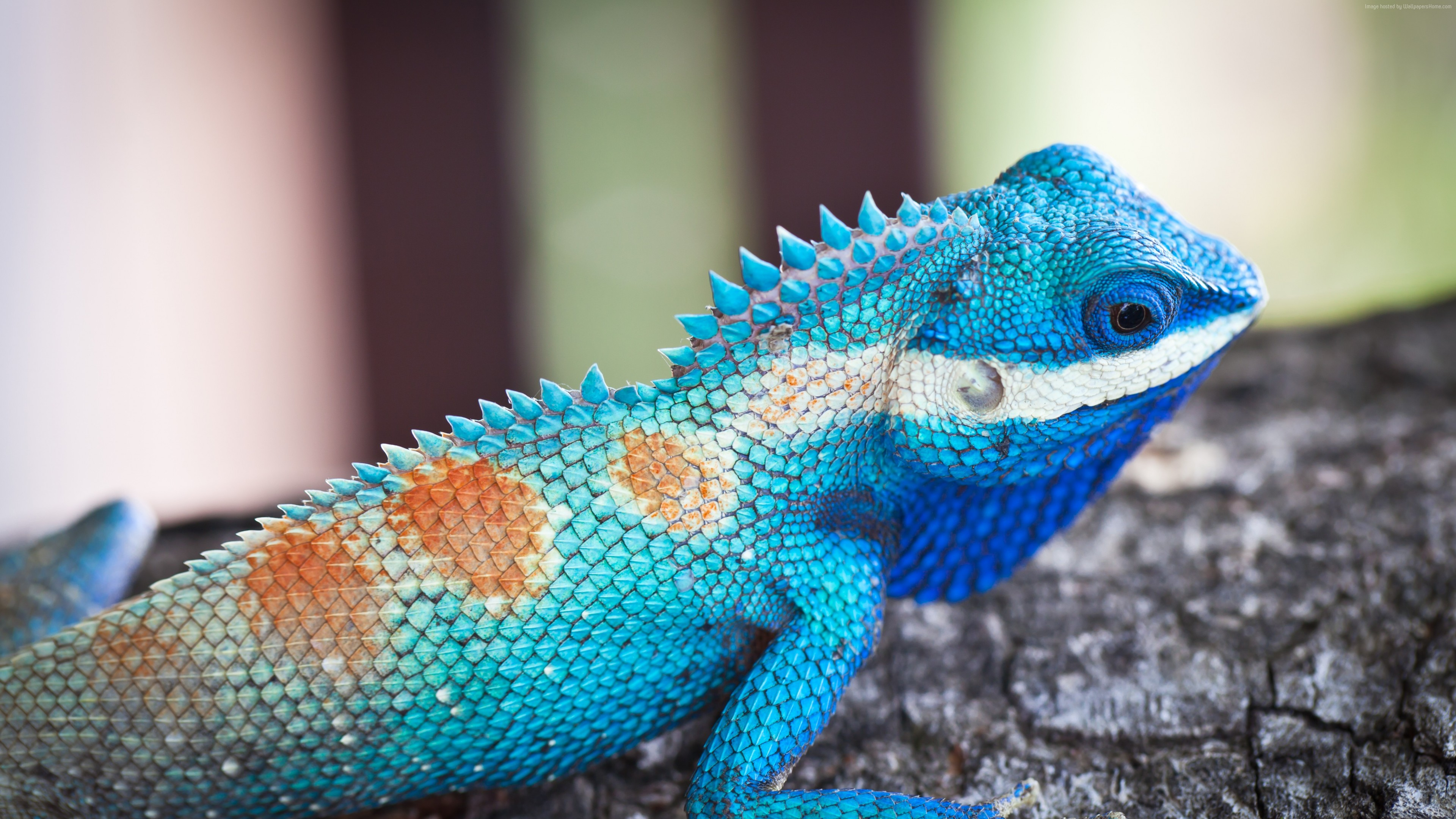 Wallpaper Lacerta viridis, Blue iguana, tree, nature, reptiles, animal, lizard, Animals