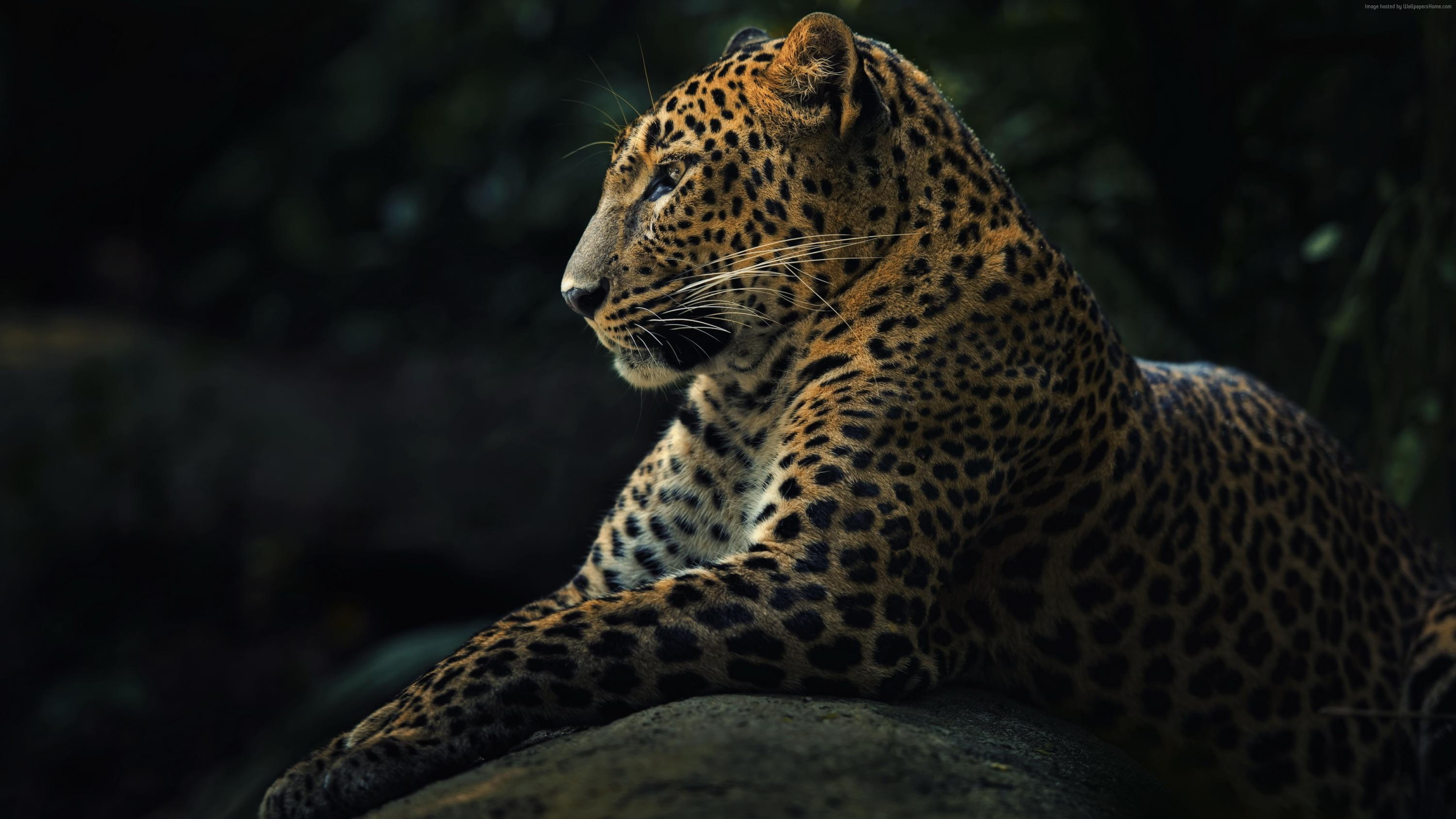 Wallpaper Leopard, look, cute animals, Animals