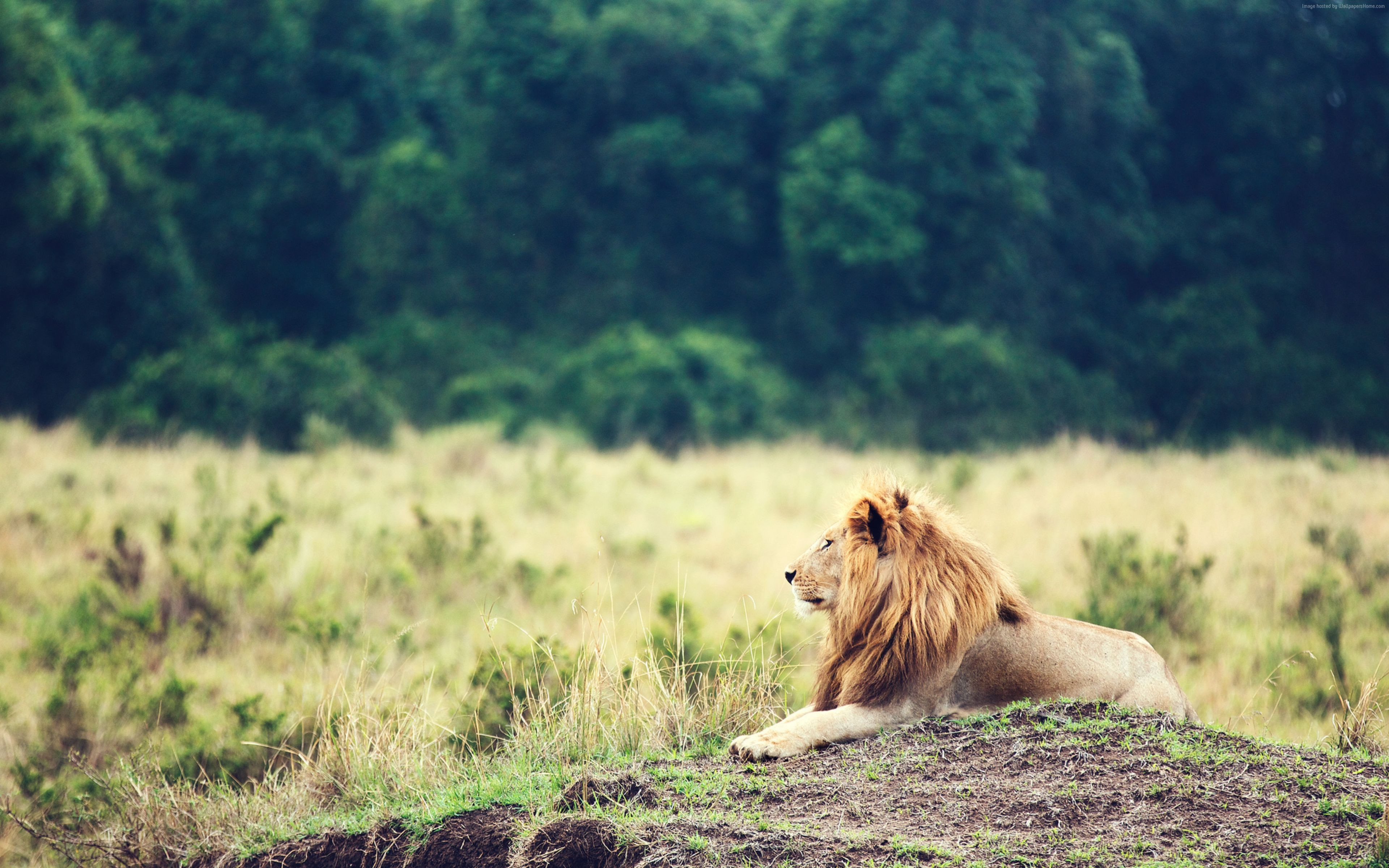Wallpaper Lion, savanna, trees, Animals