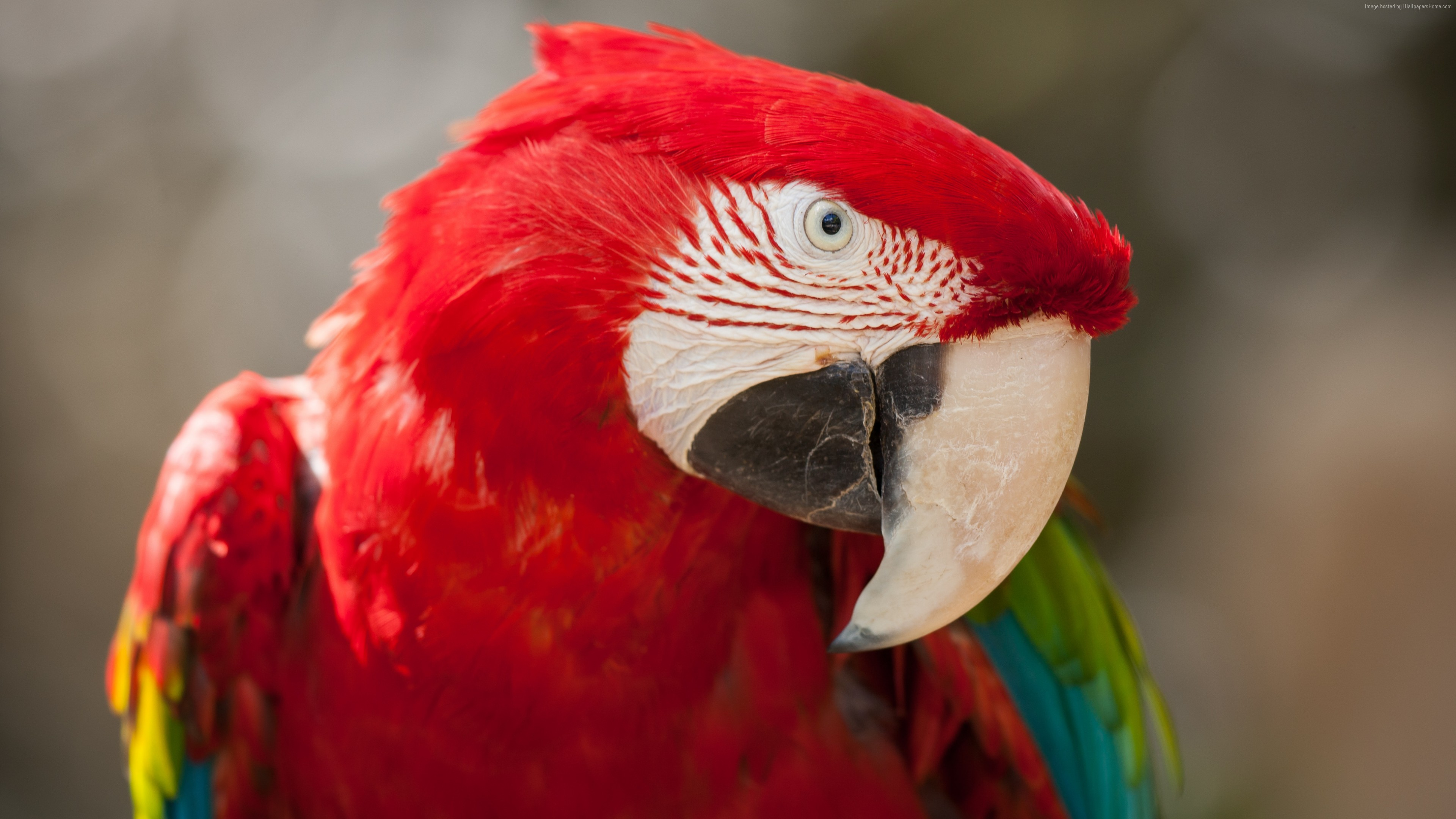 Wallpaper Macaw, parrot, cute animals, Animals