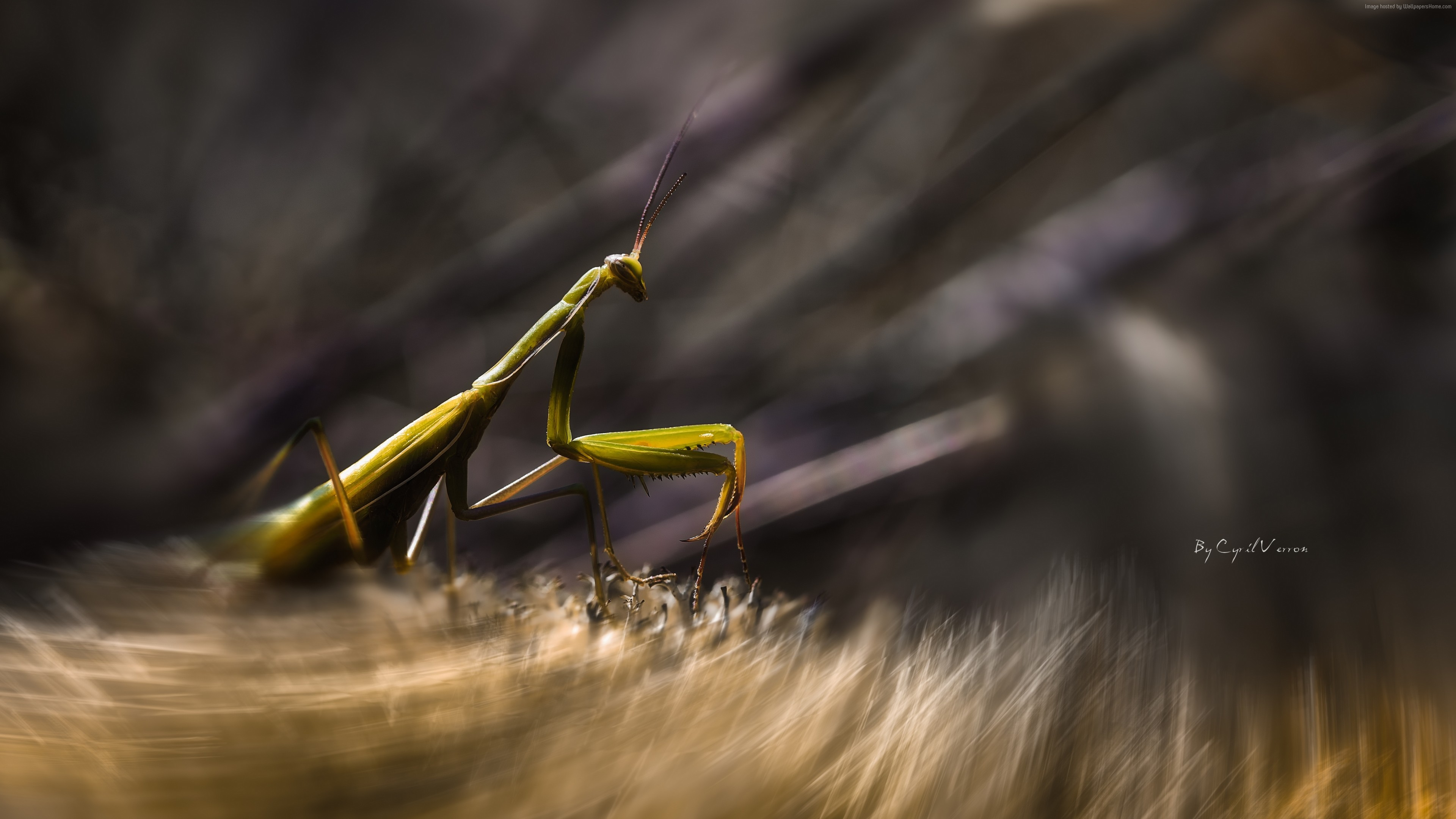 Wallpaper Mantis, insects, macro, motion, green, art, grass, Animals