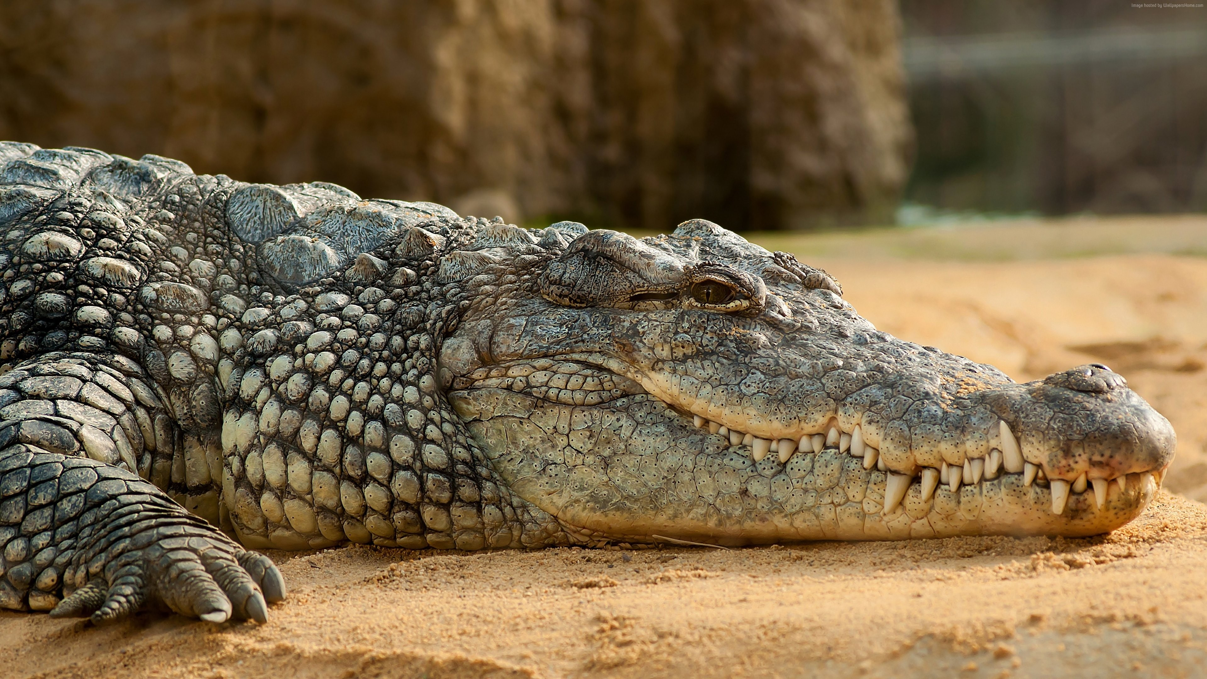 Wallpaper Nile Crocodile, reptilies, Animals