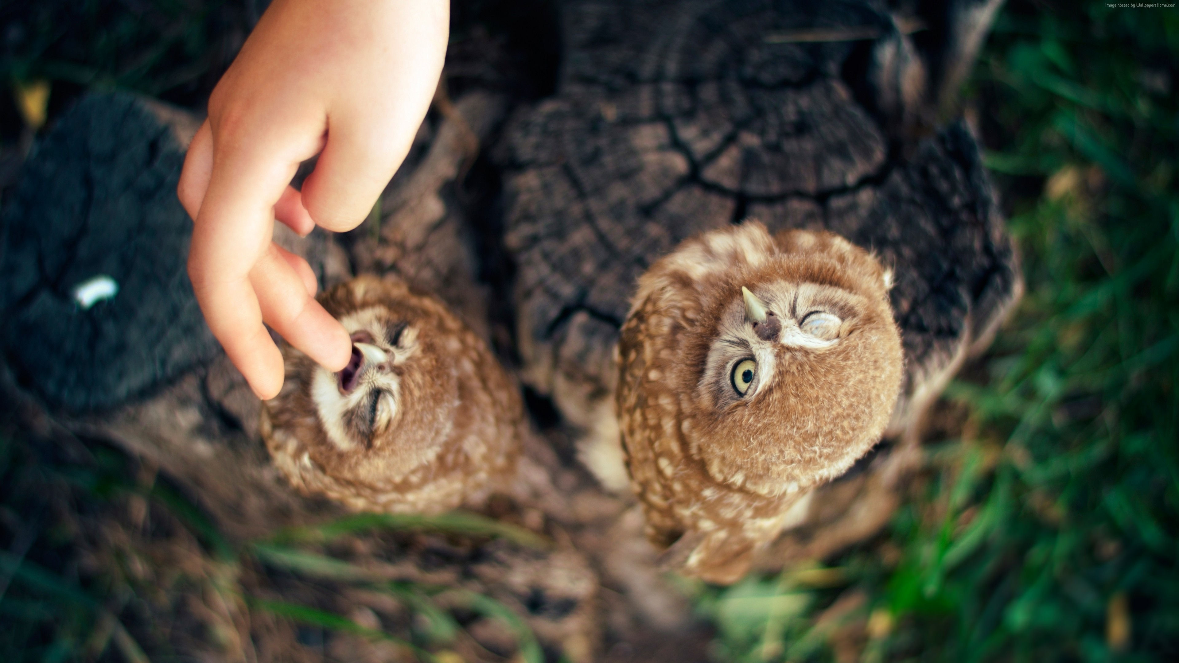 Wallpaper Owl, Ann and Hayk Owls, Armenia, cute, hand, Animals