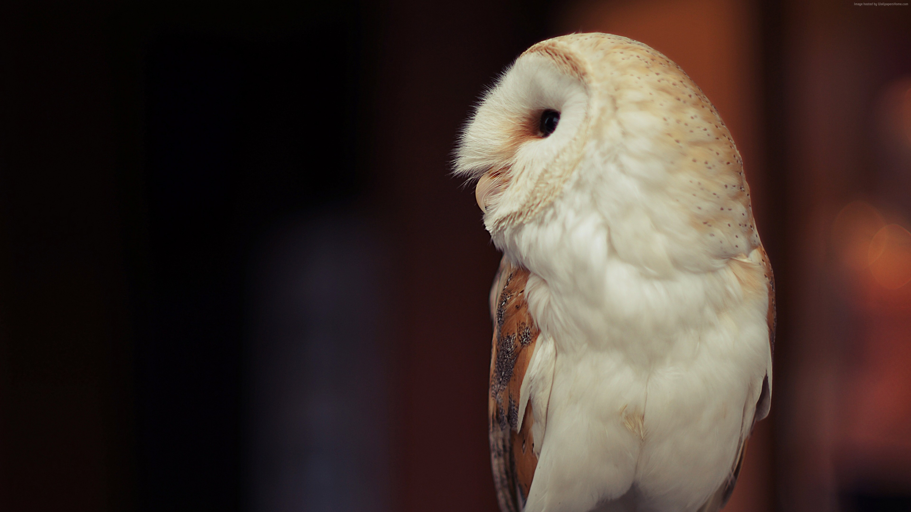 Wallpaper Owl, cute animals, funny, Animals