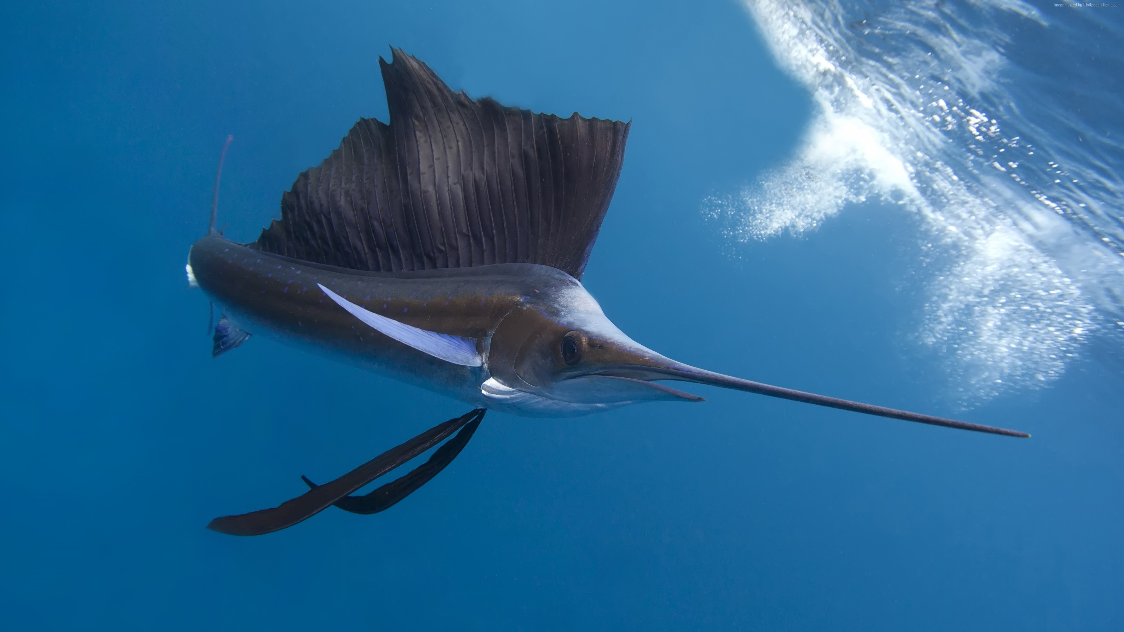 Wallpaper Pacific sailfish, Thailand, Indian ocean, Pacific ocean, tropical regions, diving, tourism, blue sea, fish, diving, tourism, World&