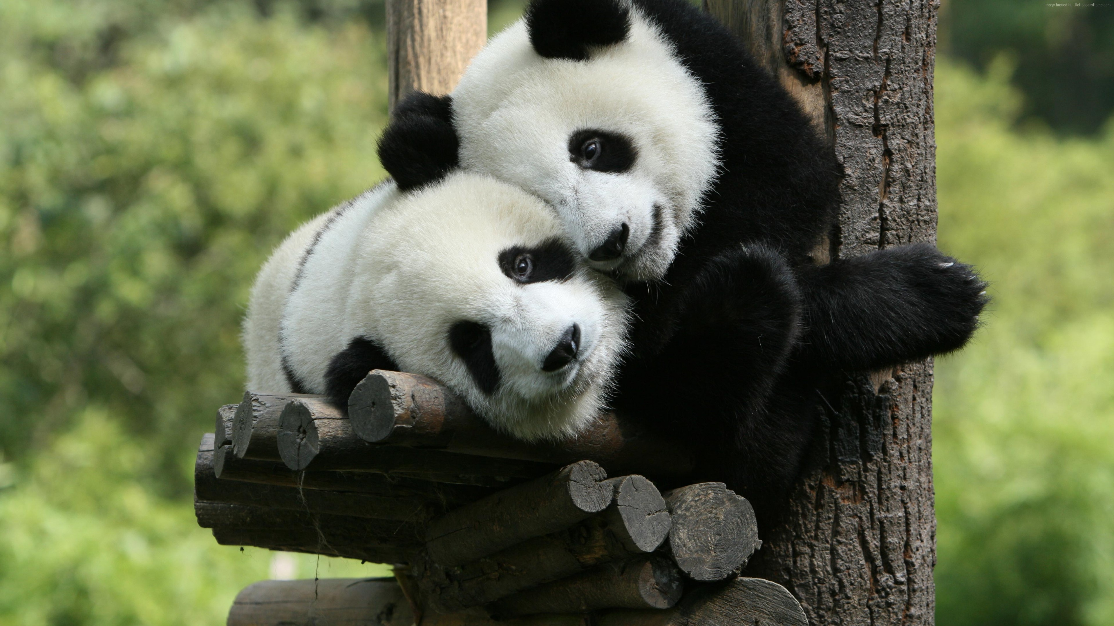 Wallpaper Panda, Giant Panda Zoo, China, Cute animals, Animals