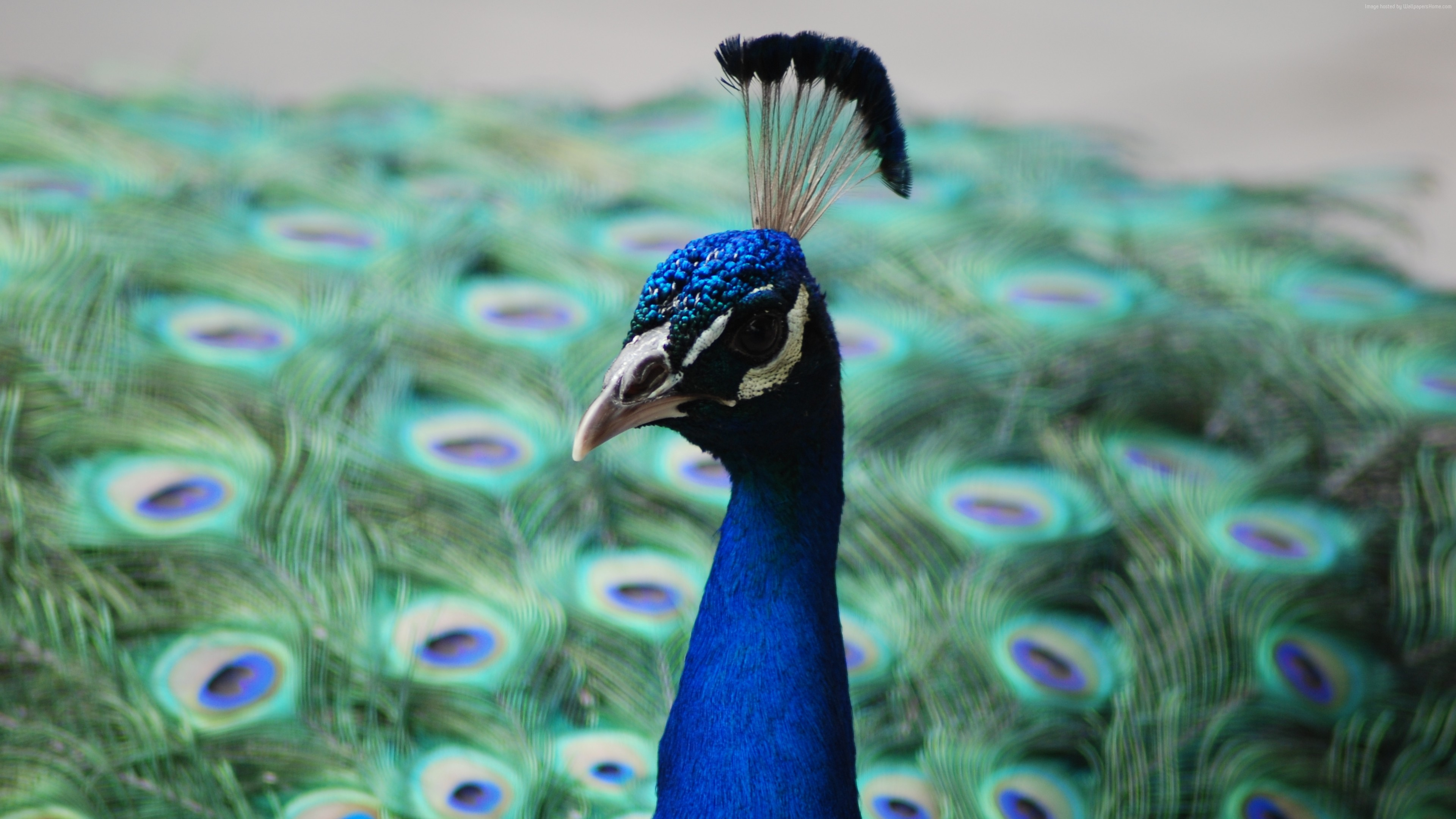Wallpaper Peacock, feathers, Animals