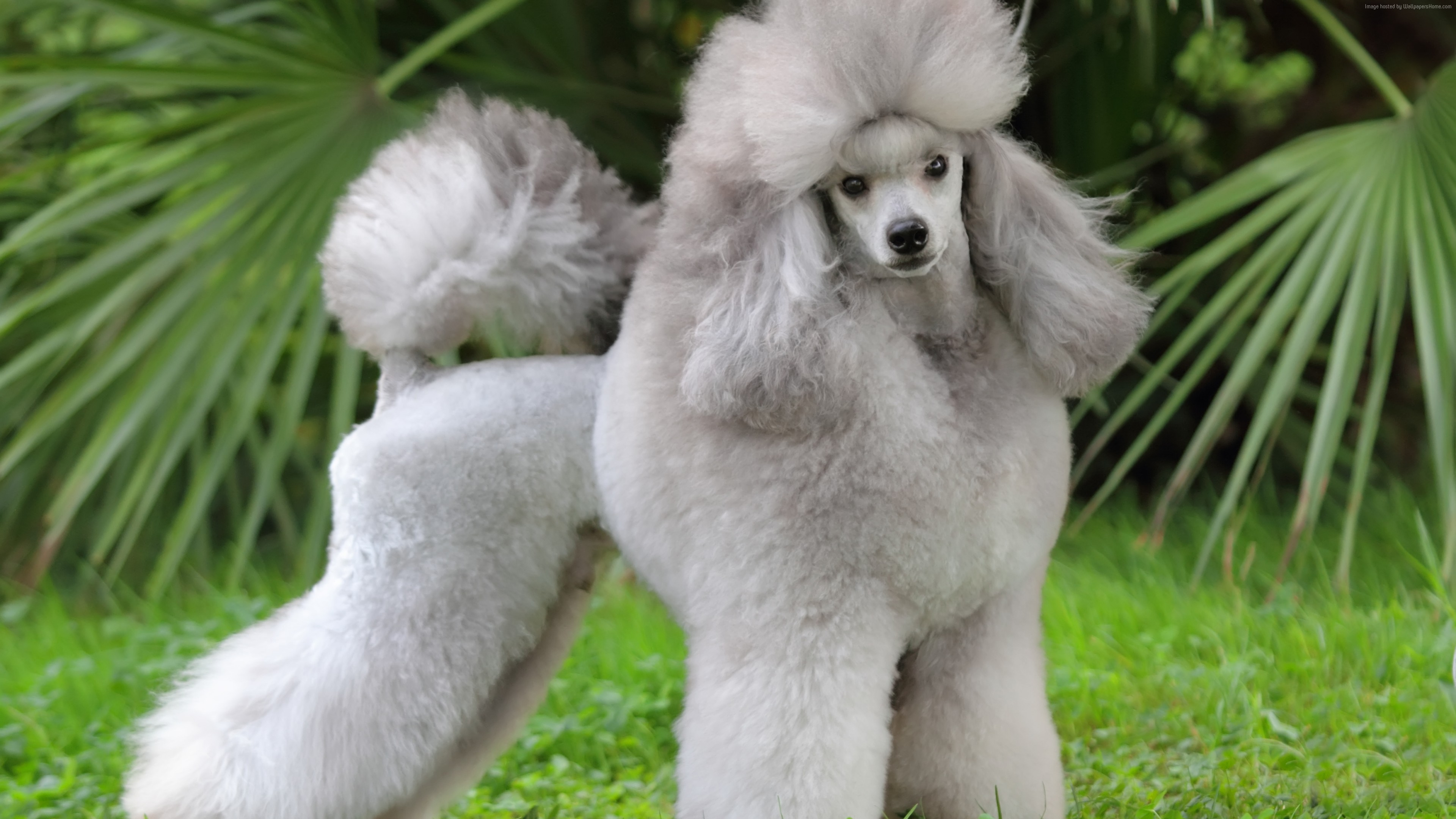 Wallpaper Poodle, grey, grass, cute animals, Animals