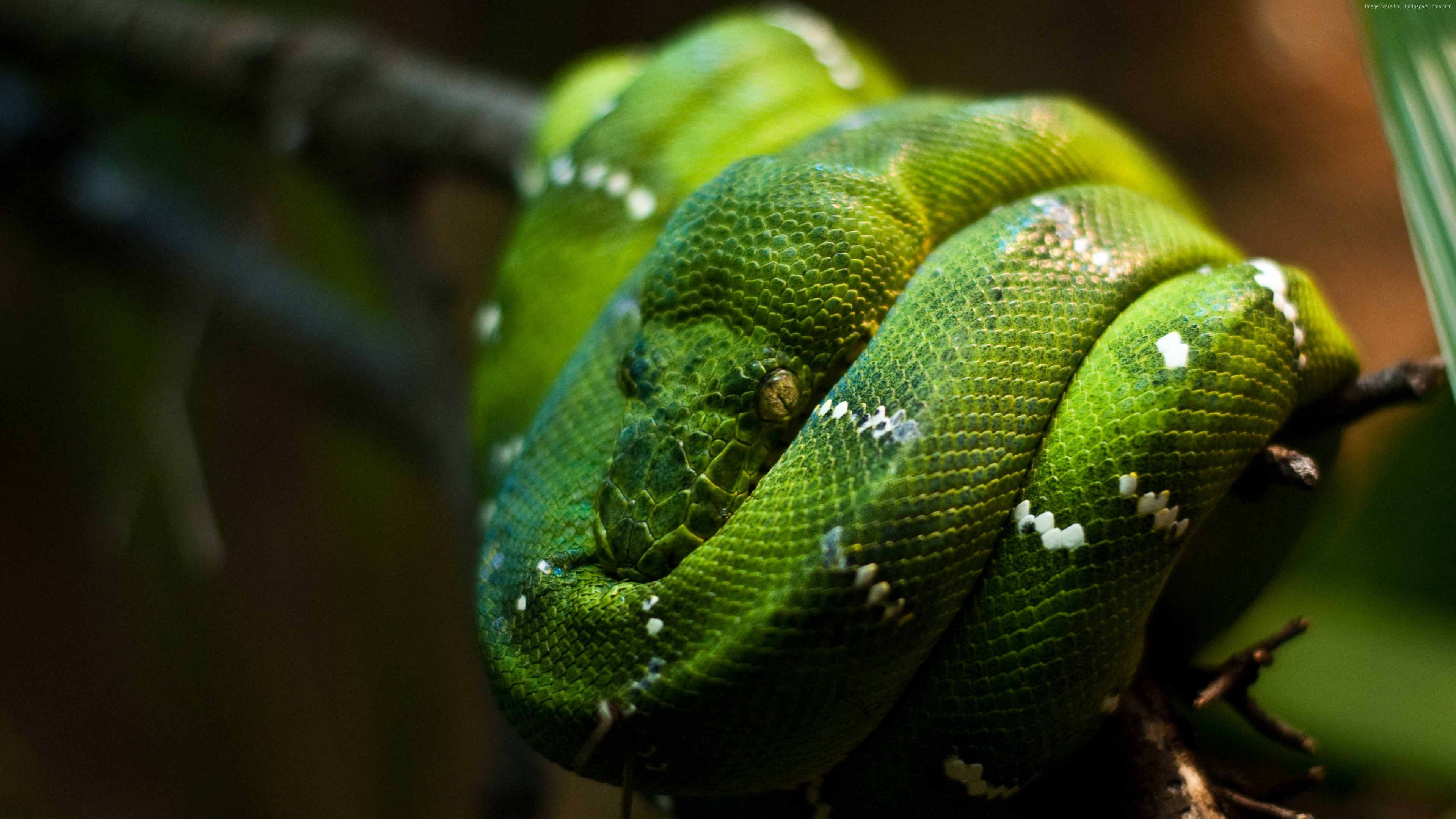Wallpaper Python, Singapore, zoo, Emerald, Green, snake, eyes, close-up, Animals