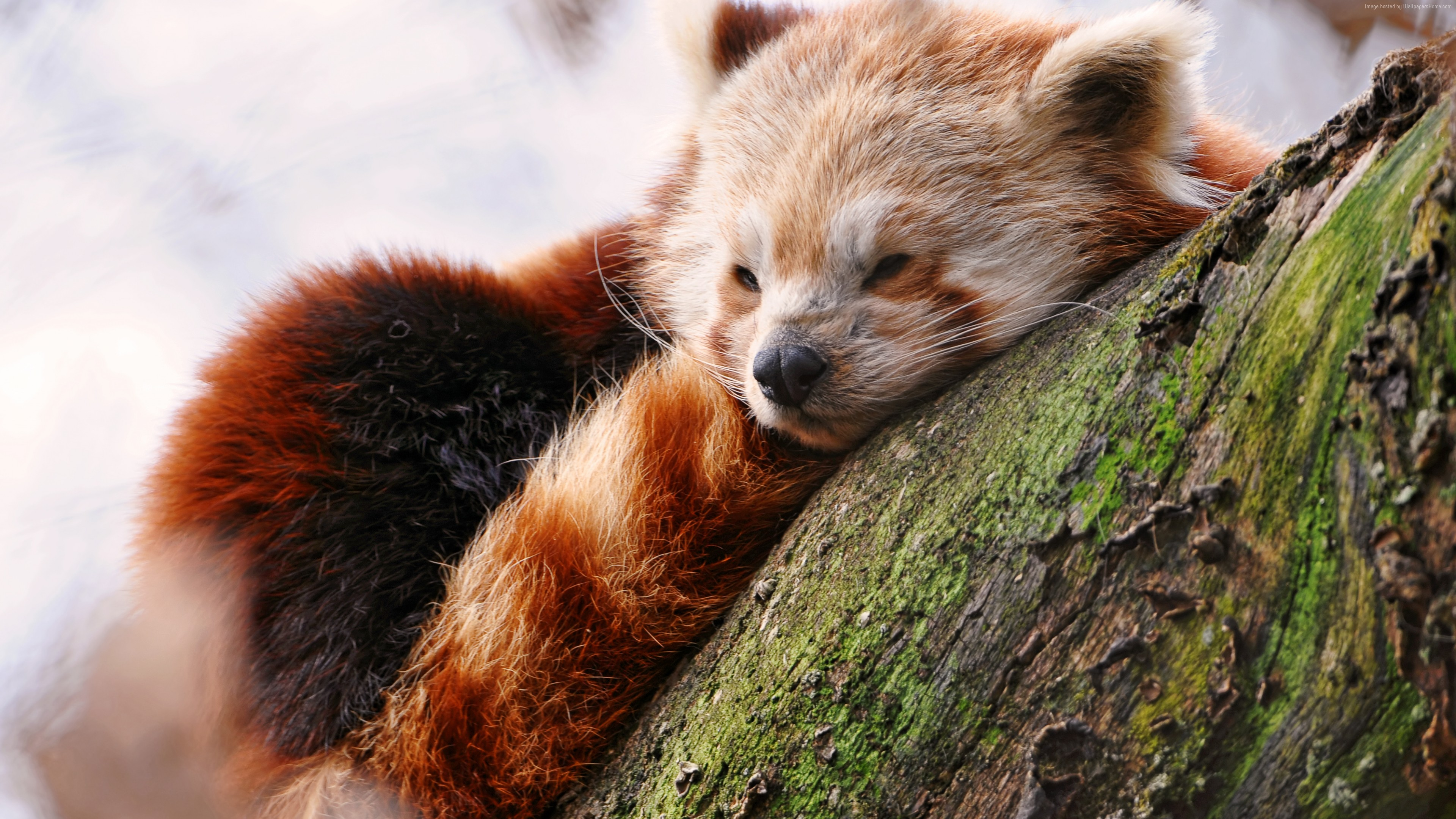 Wallpaper Red panda, animals, winter, sleep, zoo, Animals