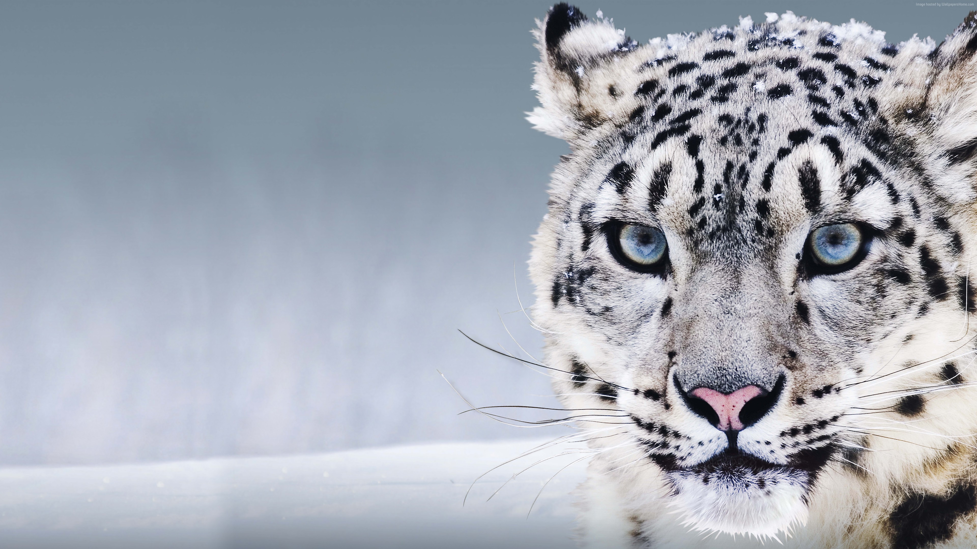 Wallpaper Snow Leopard, China, blue eyes, snow, Animals