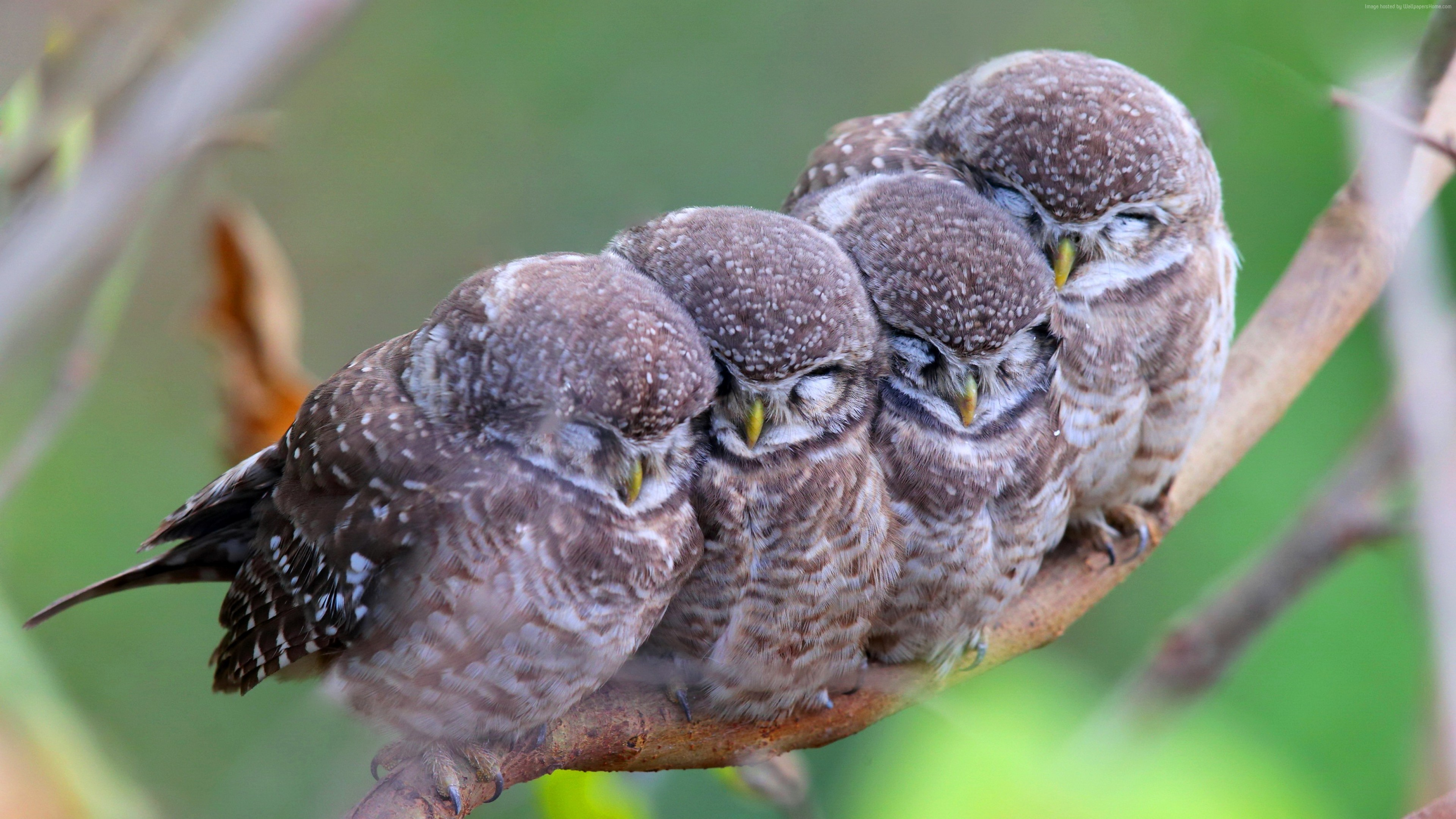 Wallpaper Spotted owl, owls, birds, mom, babes, Cute animals, Animals