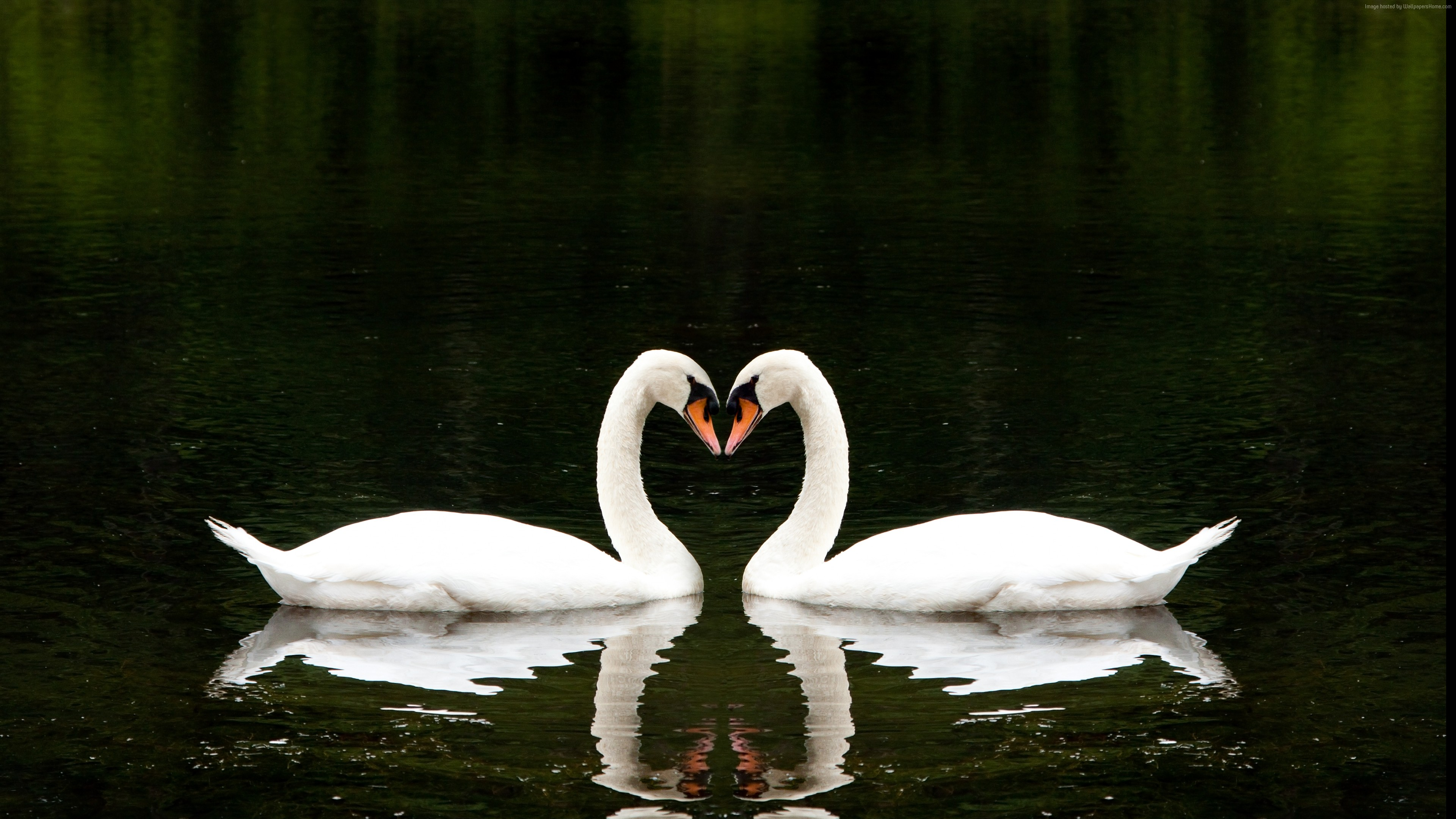 Wallpaper Swan, couple, lake, cute animals, love, Animals
