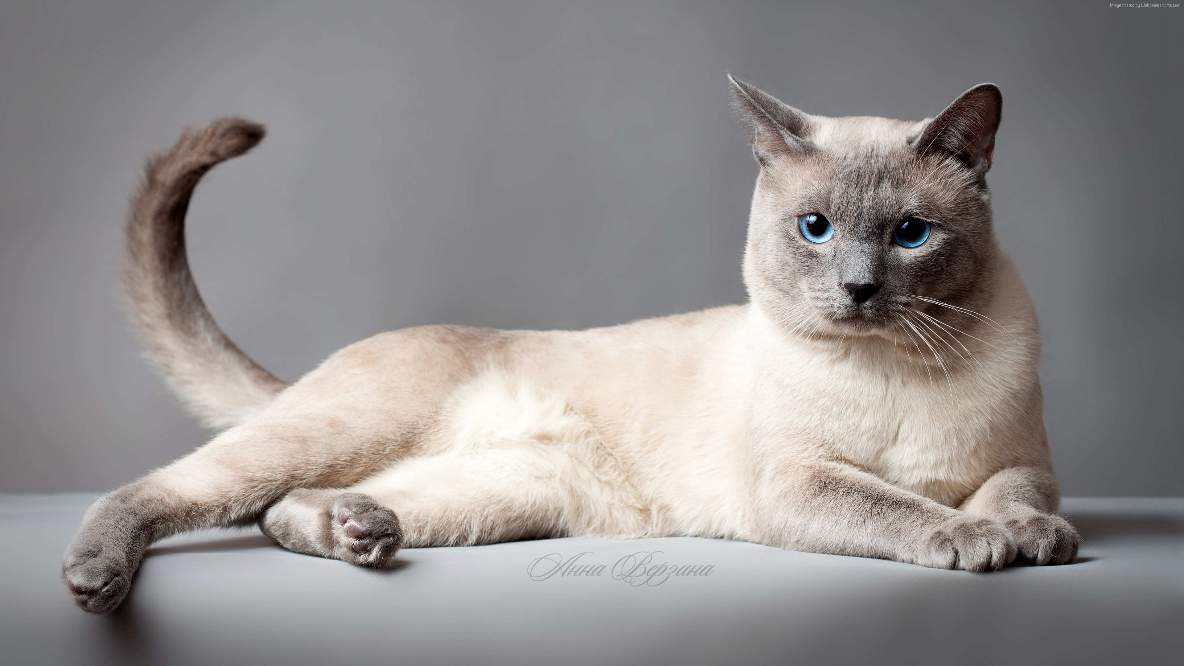 Wallpaper Thai cat, blue eyes, animal, Animals