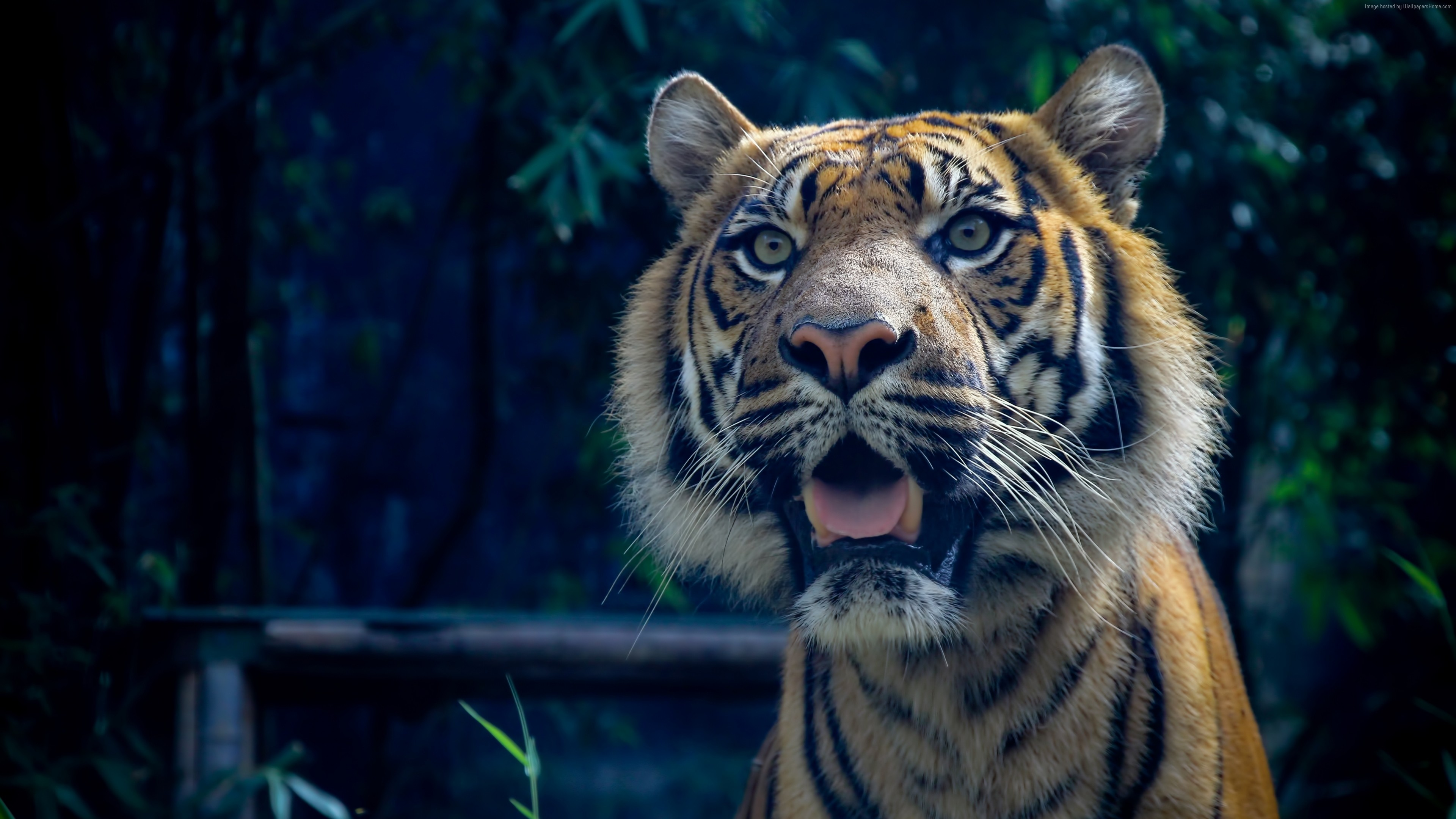 Wallpaper Tiger, 4k, HD wallpaper, Sumatran, amazing eyes, fur, look, Animals