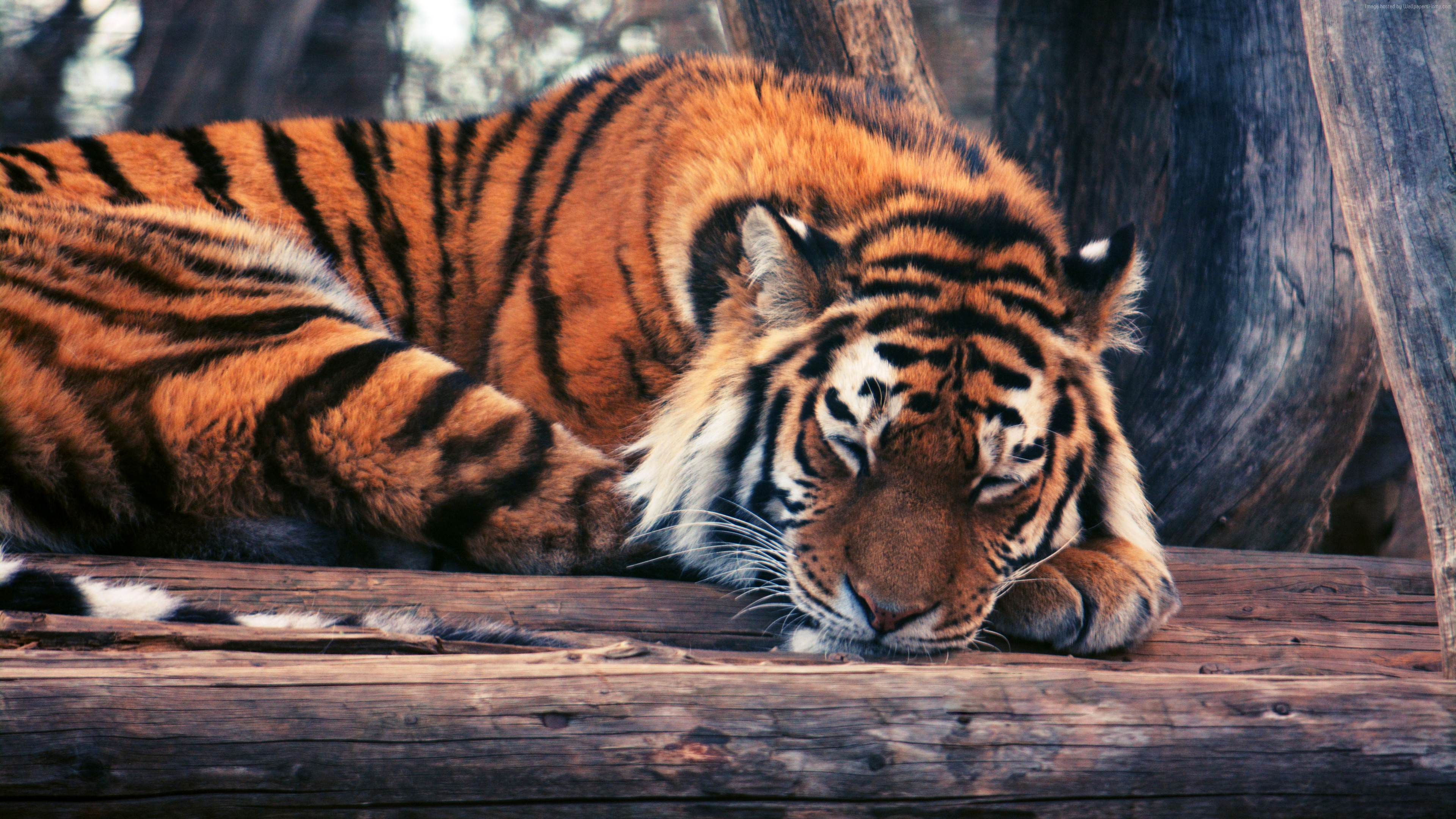Wallpaper Tiger, cute animals, funny, Animals