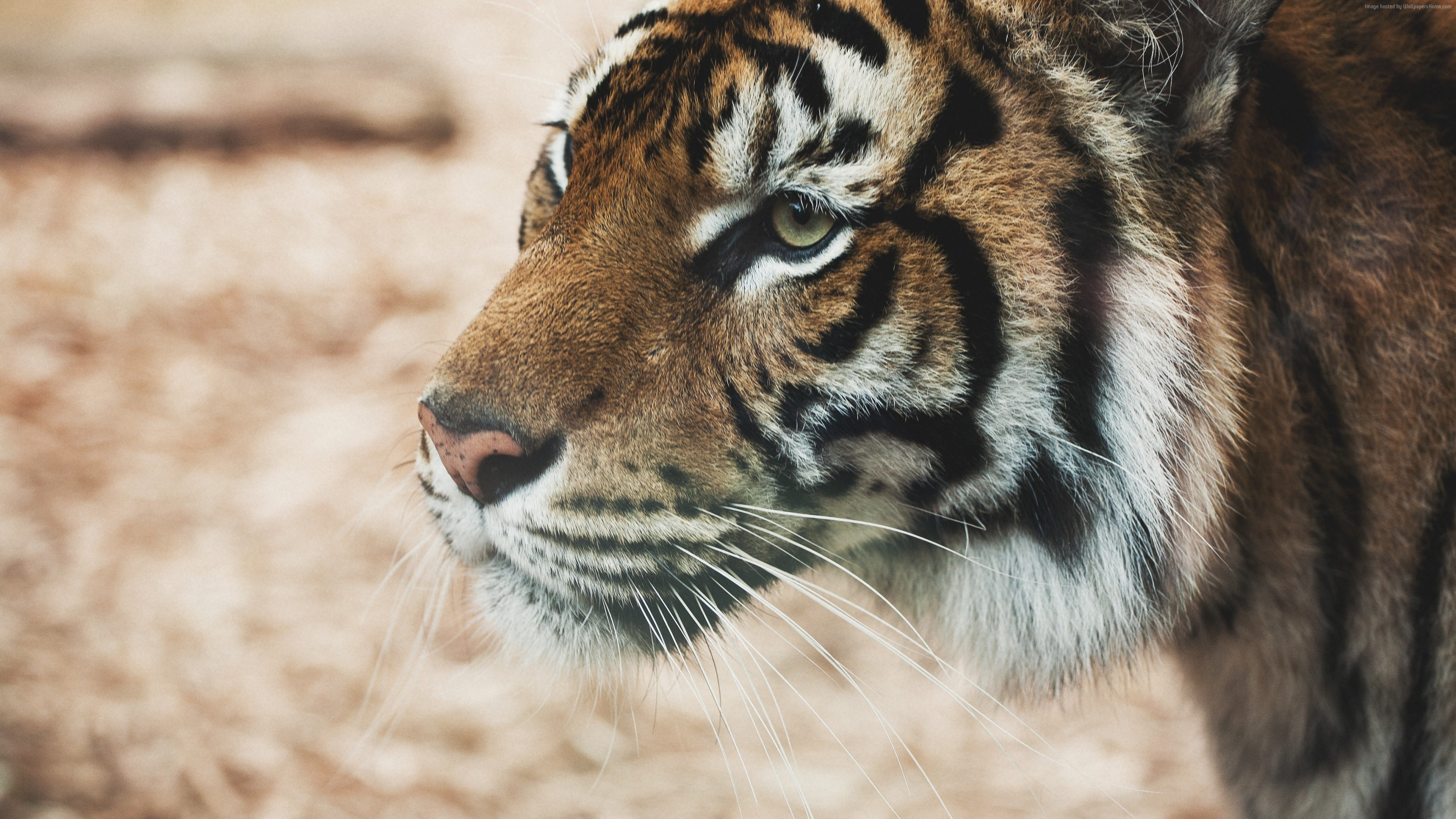 Wallpaper Tiger, savanna, look, cute animals, Animals