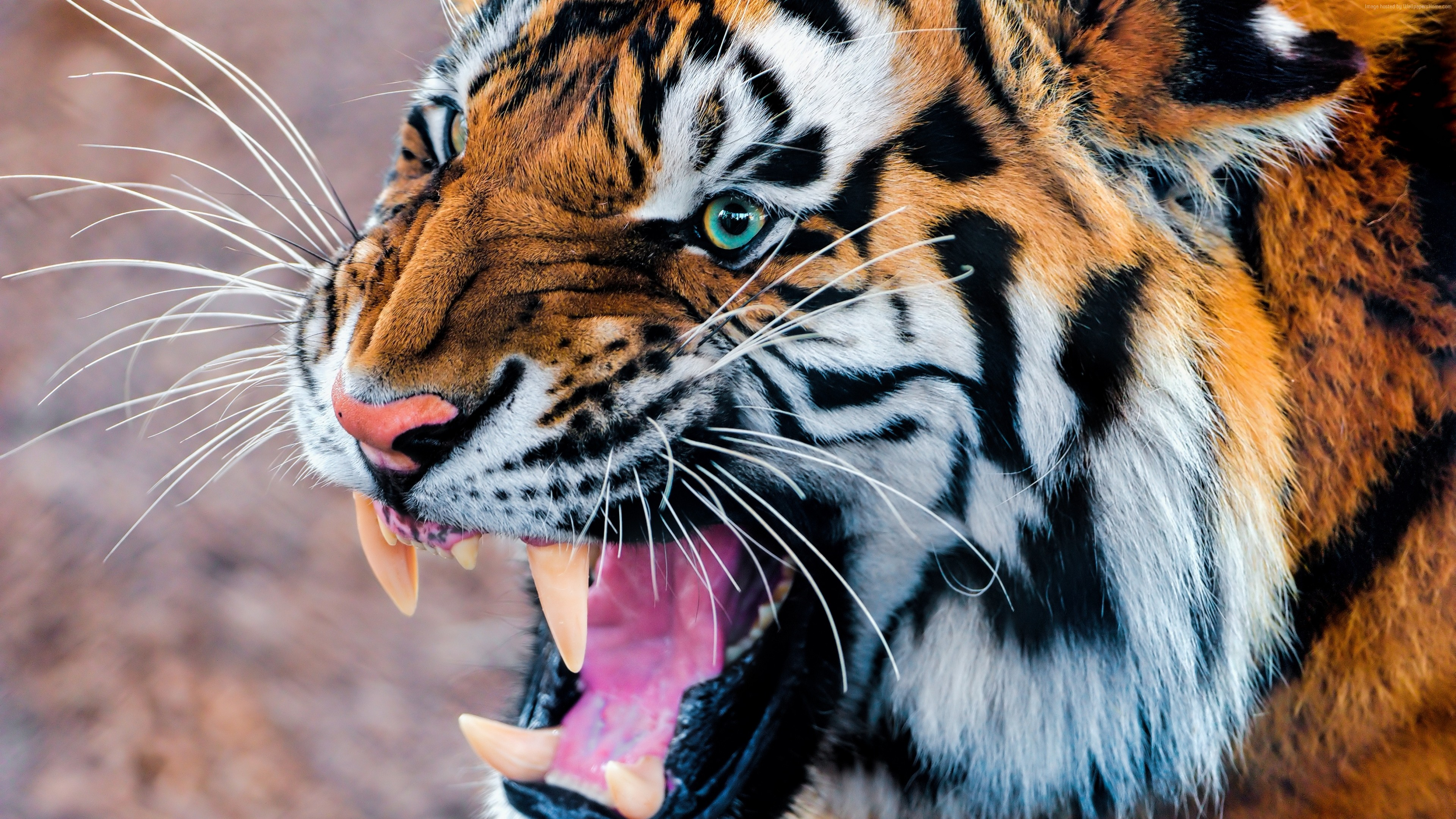 Wallpaper Tiger, snarling, eyes, fur, Animals