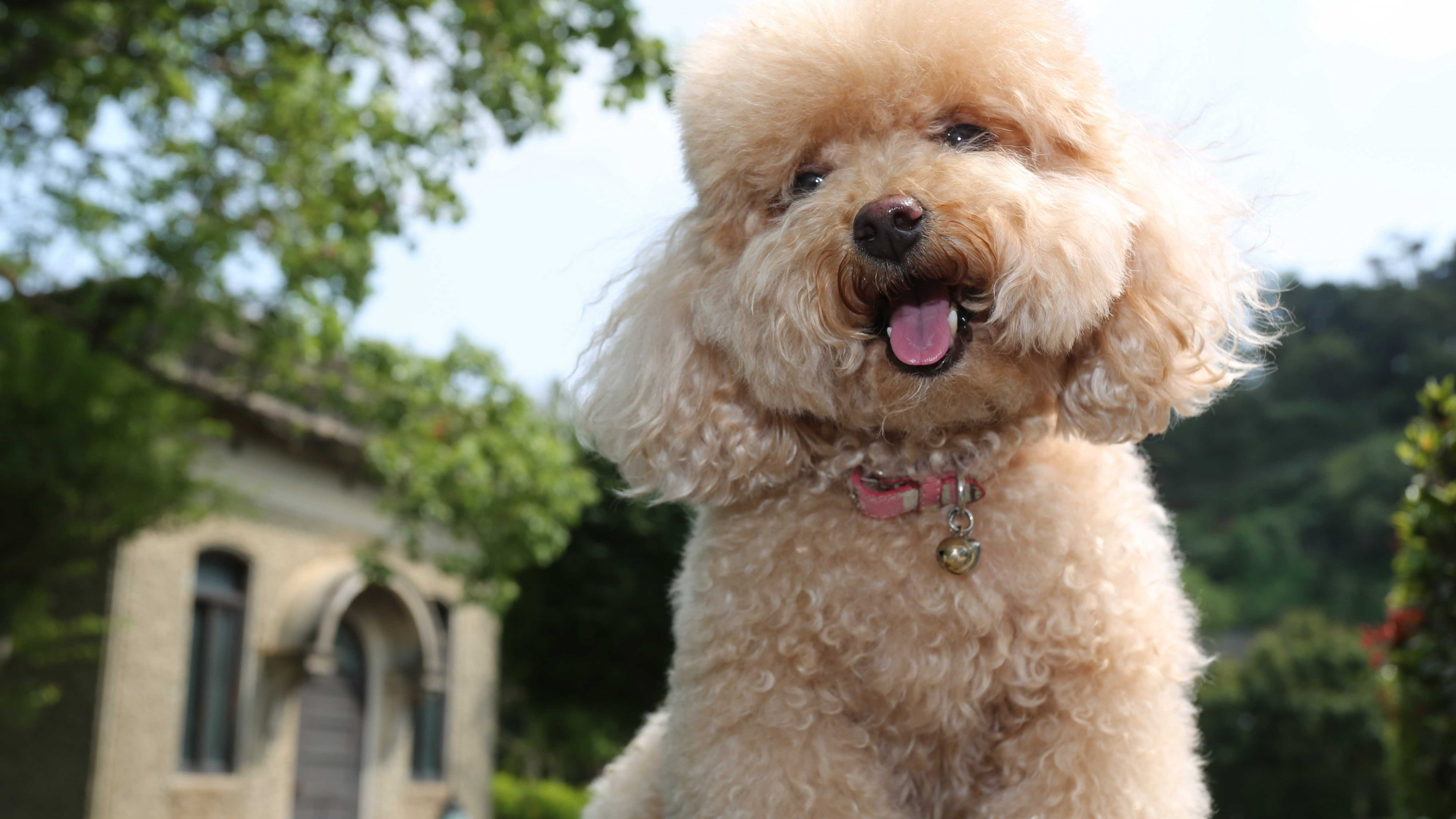 Wallpaper Toy Poodle Dog Puppy Funny Pets Funny Animals Animals Wallpaper Download High Resolution 4k Wallpaper
