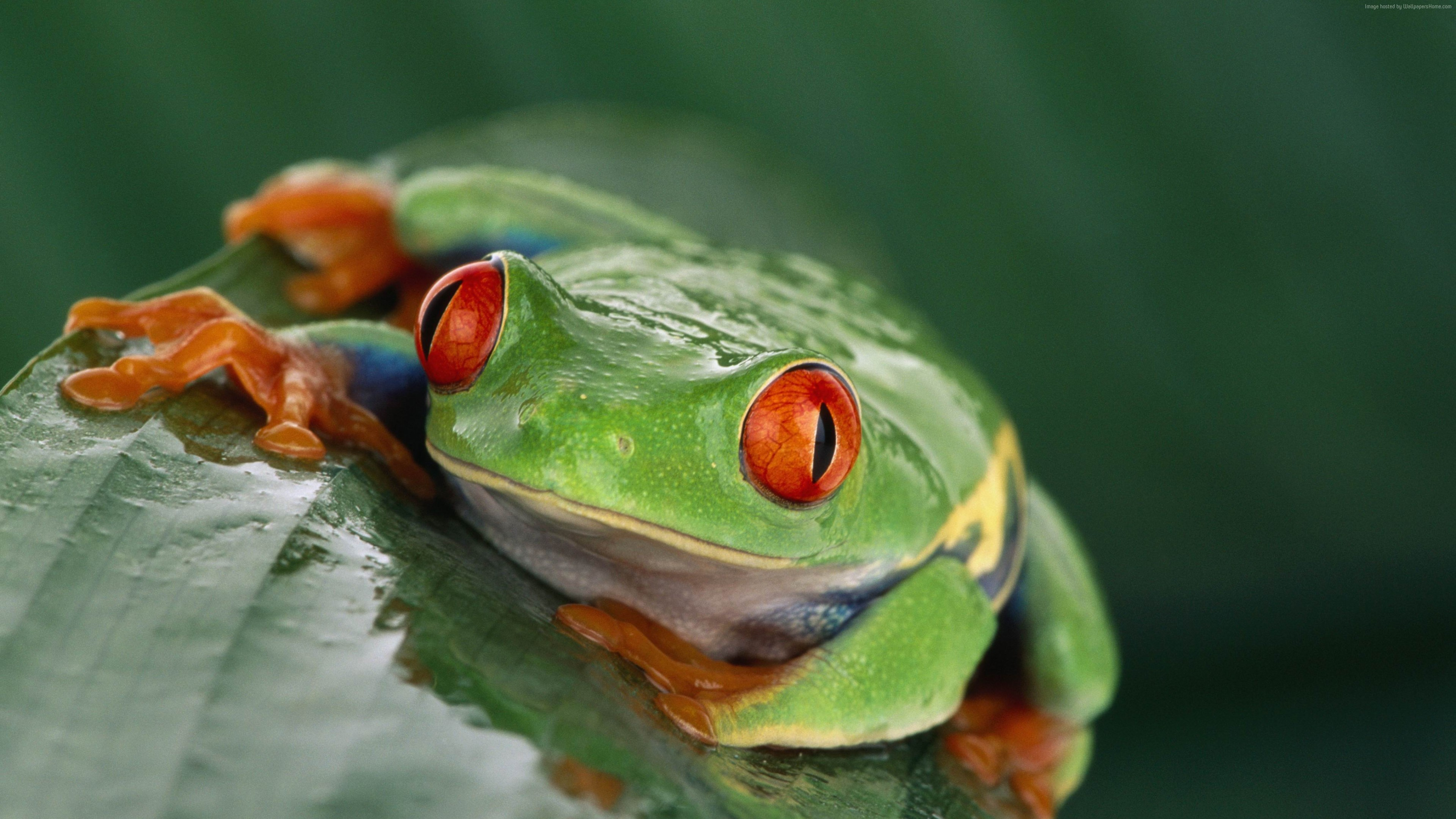 Wallpaper Tree frog, Costa Rica, green, orange, tropical, exotic, travel, tourism, frog, poison, Animals