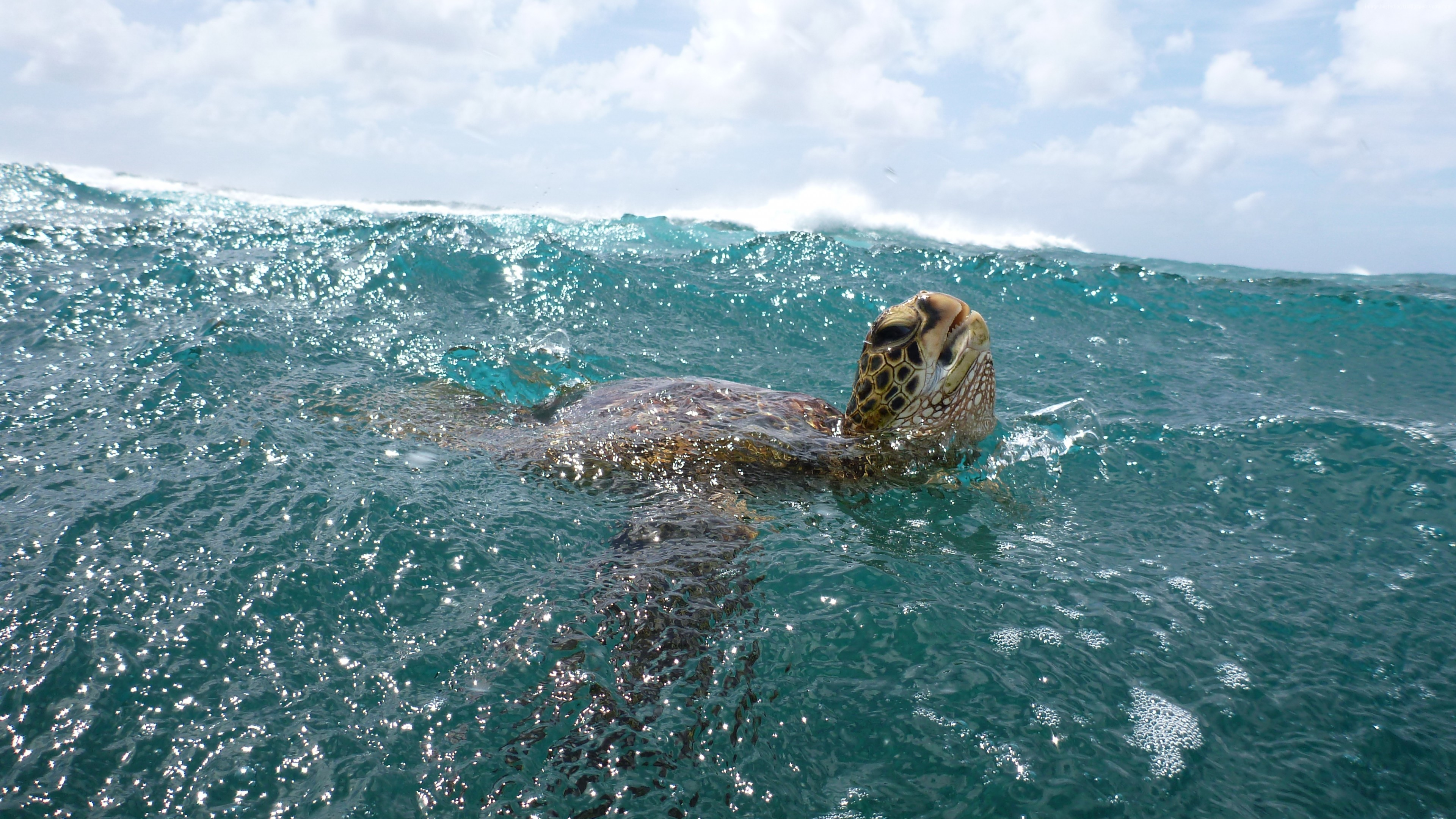 Wallpaper Turtle, surfing, water, sea, ocean, underwater, animal, sky, clouds, Malaysia, World&